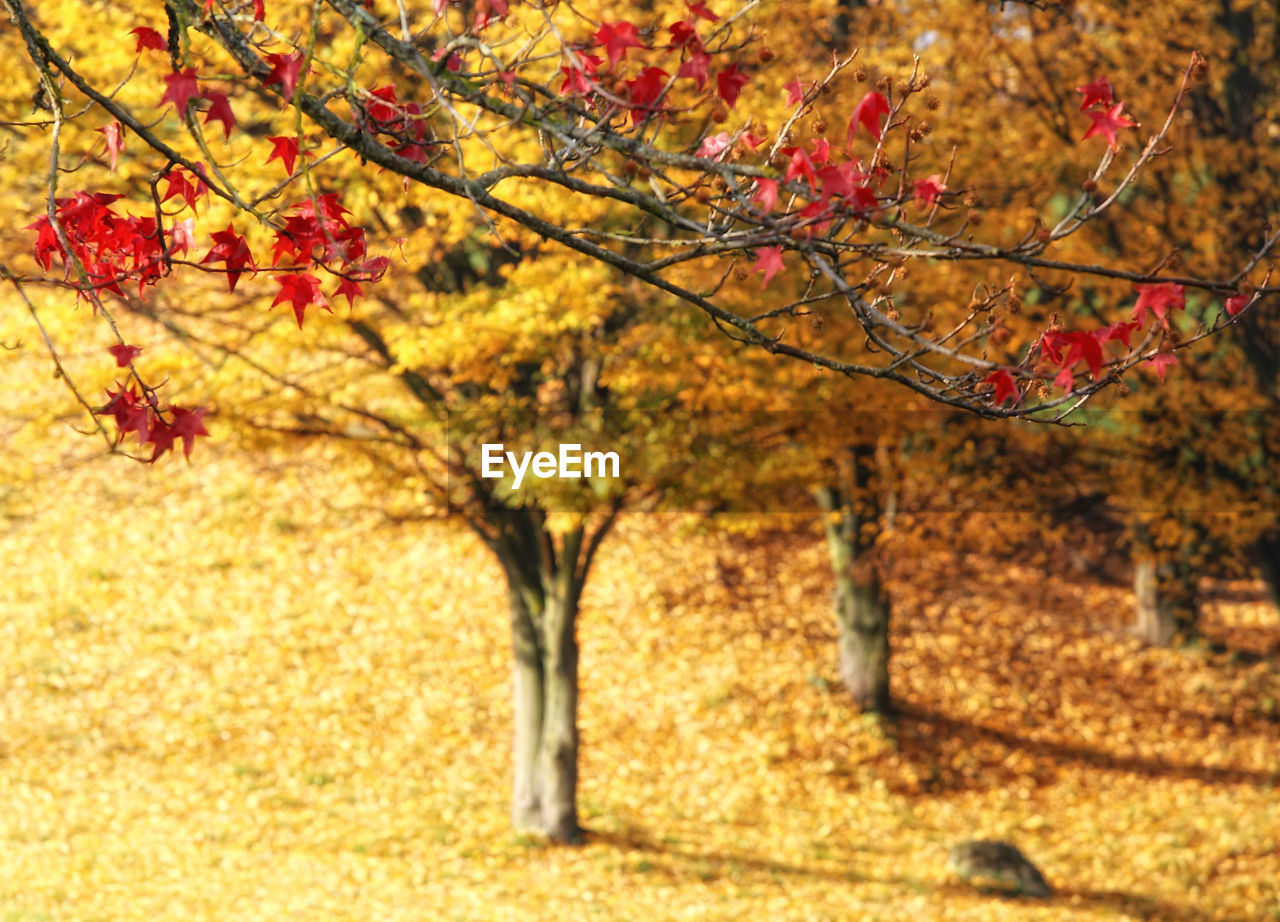 autumn, change, leaf, tree, nature, branch, beauty in nature, outdoors, maple tree, growth, no people, scenics, day, tranquility, maple, close-up, sky