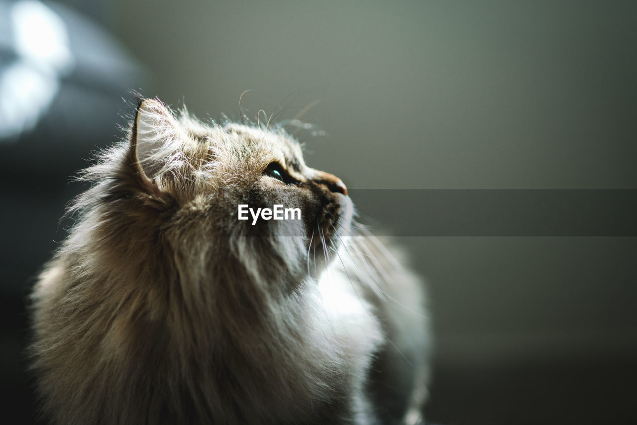 animal, animal themes, one animal, mammal, pets, domestic, domestic animals, cat, vertebrate, feline, domestic cat, no people, looking, looking away, indoors, close-up, animal hair, focus on foreground, whisker, day, animal head