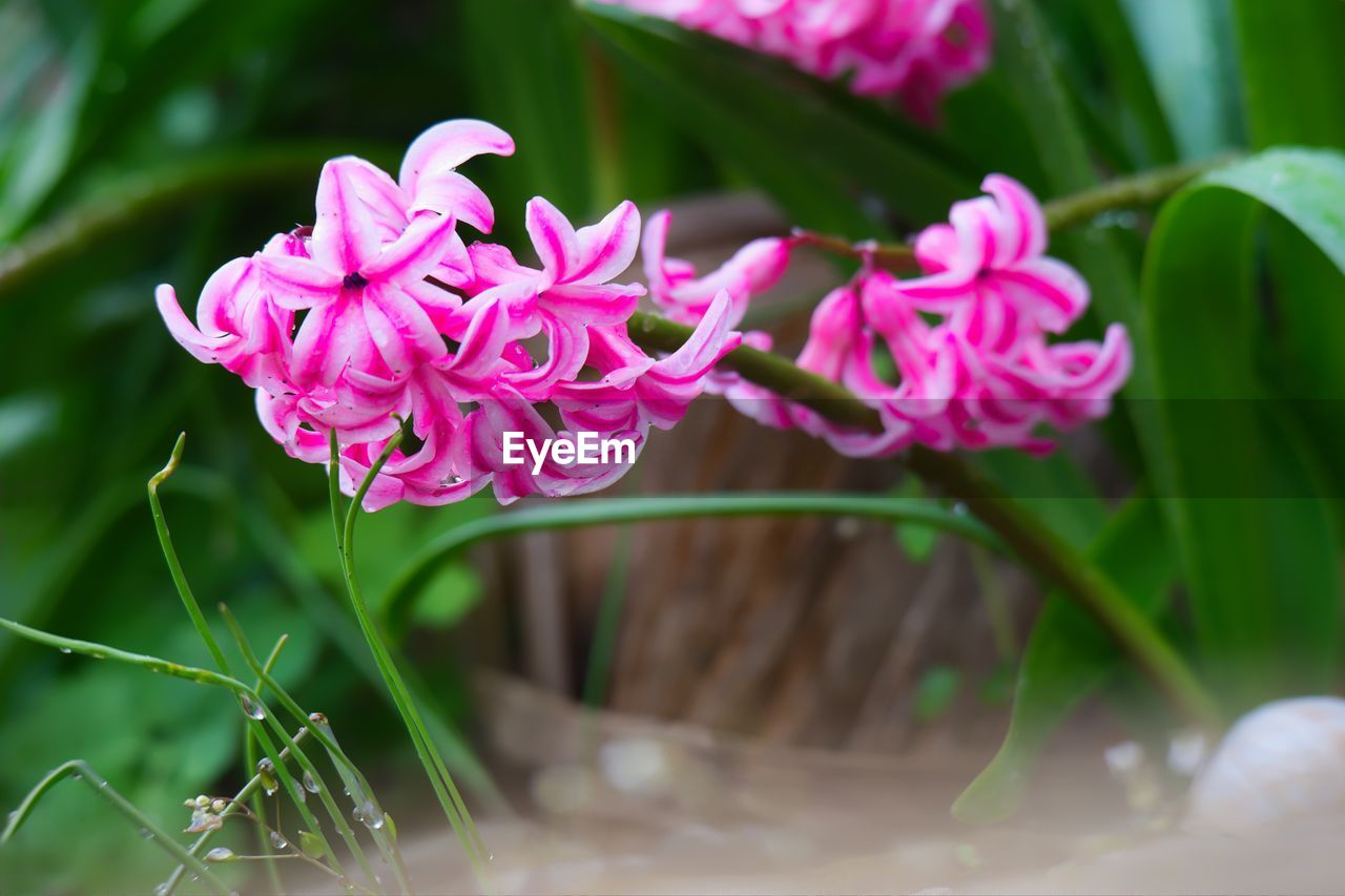flower, beauty in nature, flowering plant, plant, freshness, petal, fragility, vulnerability, pink color, close-up, growth, flower head, nature, inflorescence, selective focus, day, no people, plant part, outdoors, leaf, purple