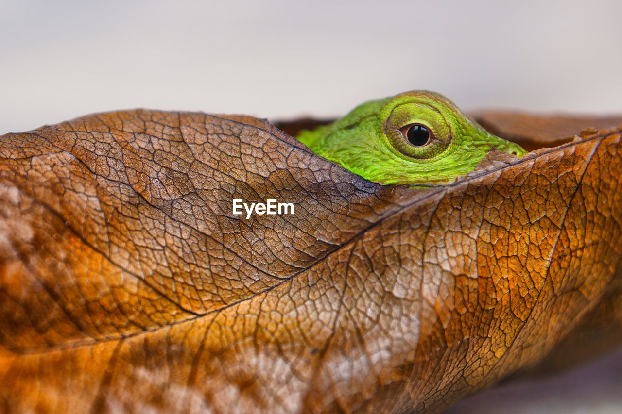 reptile, close-up, one animal, animal, animal themes, vertebrate, animal wildlife, animals in the wild, lizard, no people, animal body part, focus on foreground, green color, day, nature, eye, outdoors, selective focus, animal head, animal eye, animal scale