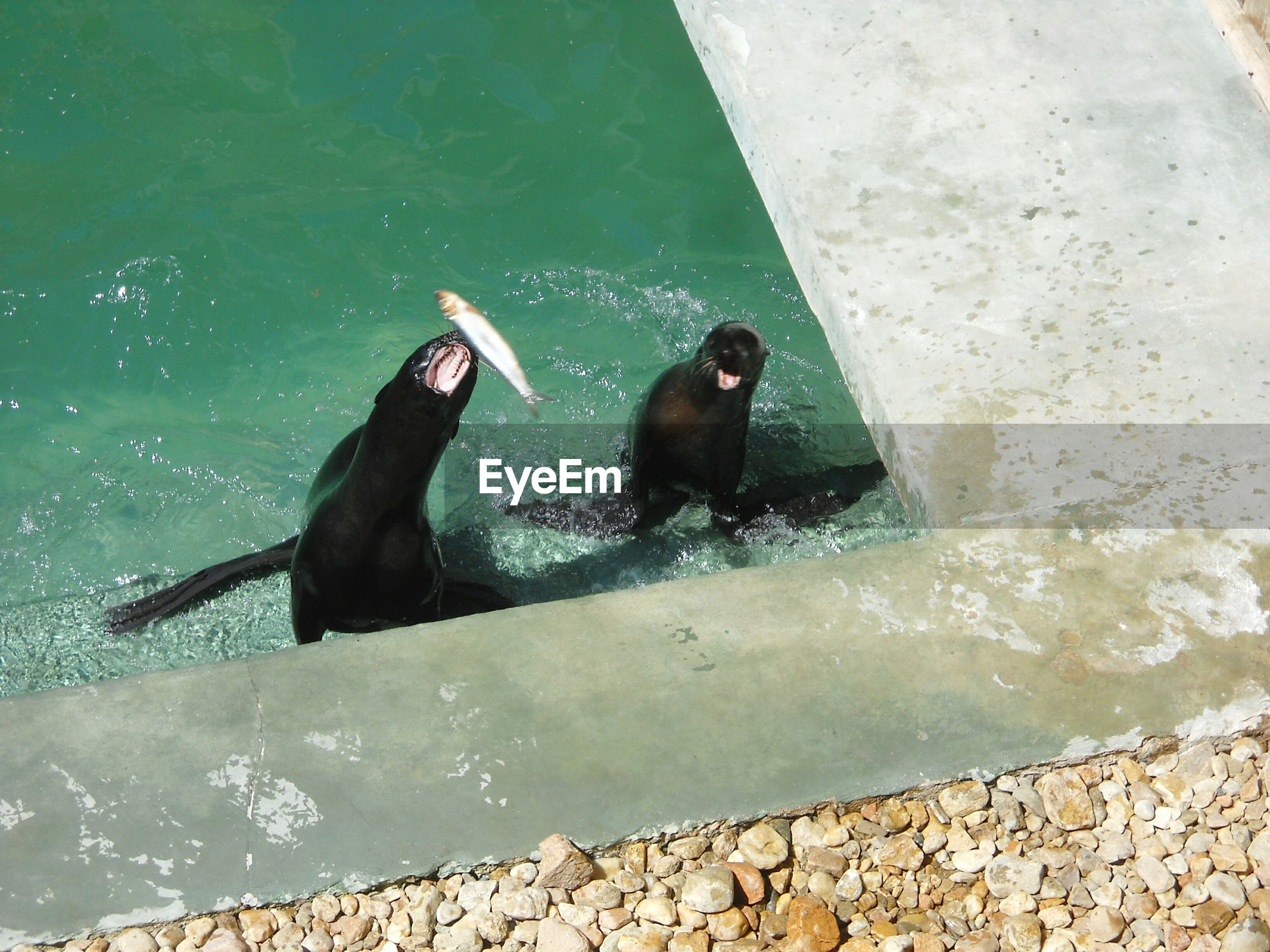 High angle view of seal catching fish in pond at zoo