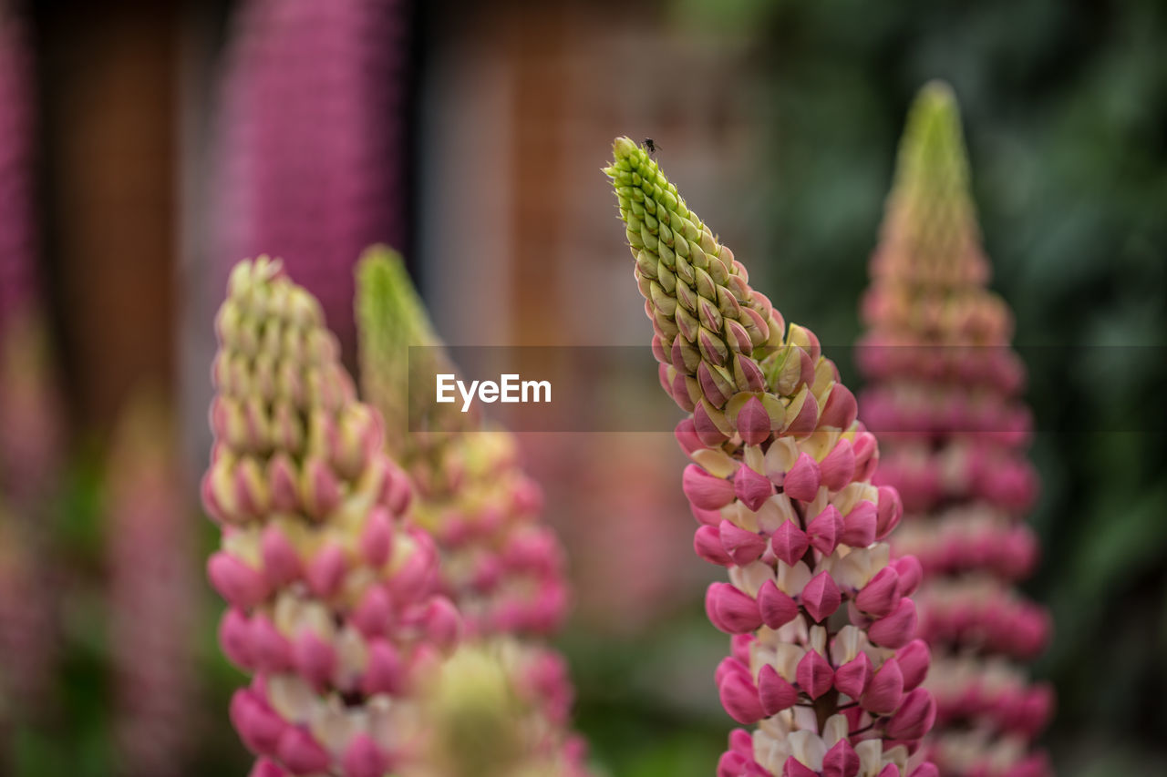 Close-up of lupine flowers