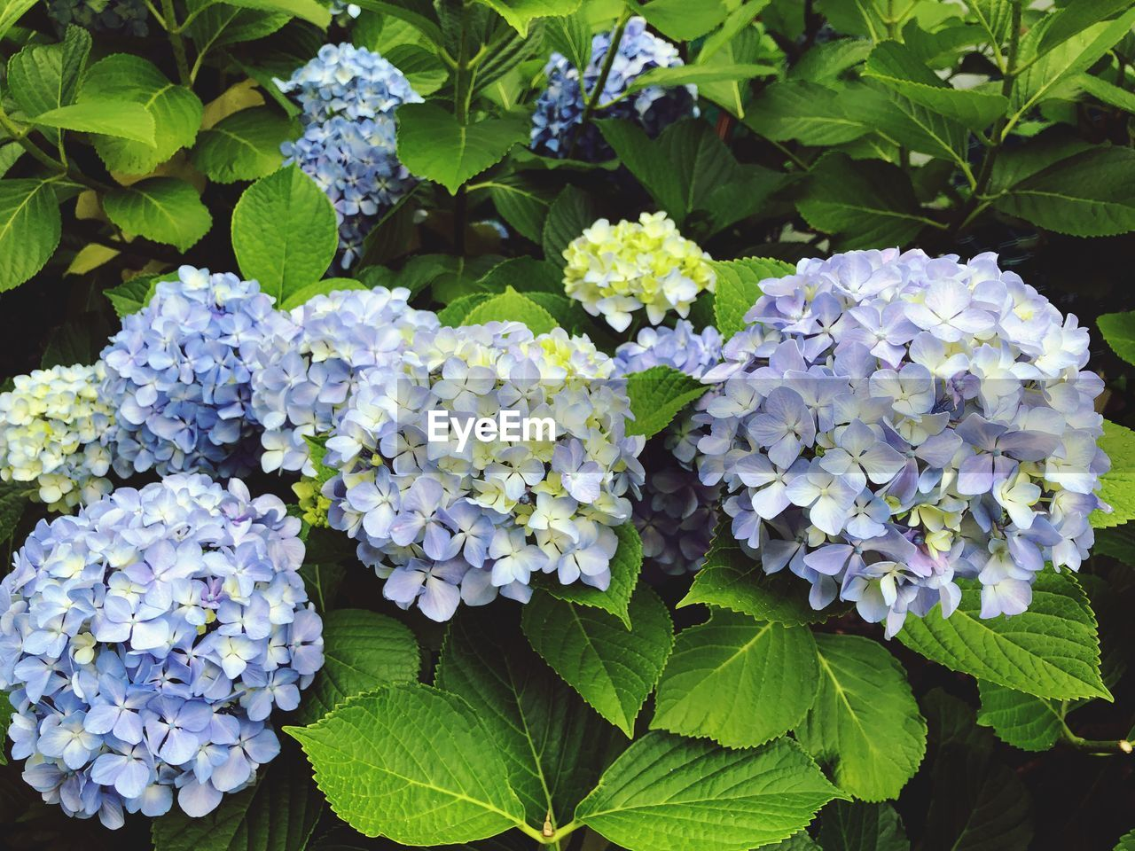 flowering plant, leaf, beauty in nature, flower, plant part, vulnerability, growth, fragility, plant, hydrangea, freshness, petal, nature, inflorescence, flower head, close-up, day, green color, no people, springtime, bunch of flowers, lilac, outdoors, purple, lantana