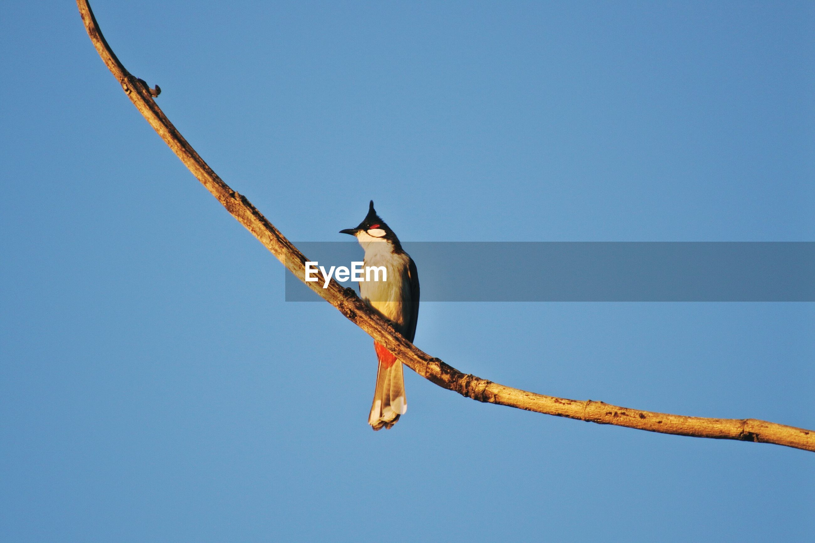 Low angle view of bird perching on branch against clear blue sky