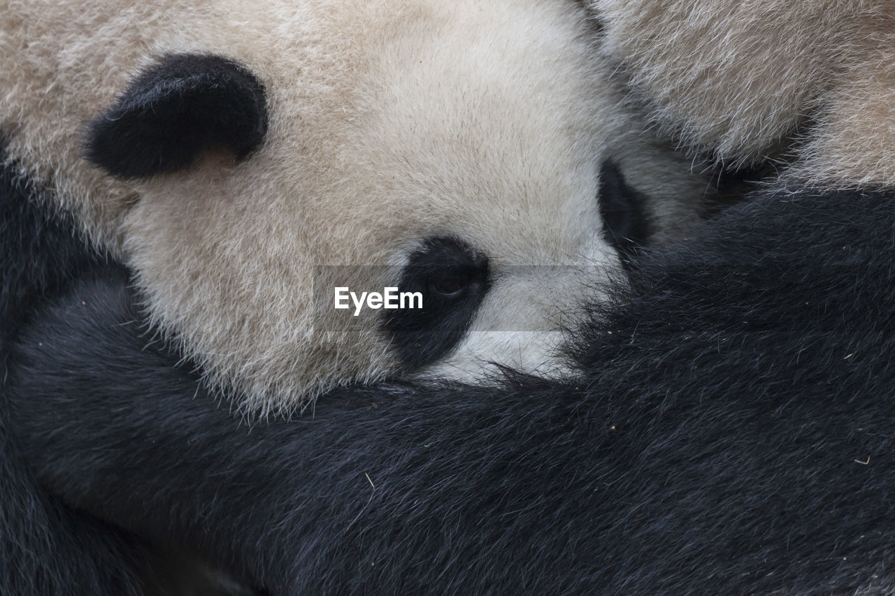 animal, animal themes, mammal, one animal, animal wildlife, bear, animals in the wild, no people, panda - animal, giant panda, vertebrate, close-up, animal body part, relaxation, endangered species, day, outdoors, animal hair, animal head, herbivorous, bamboo - plant