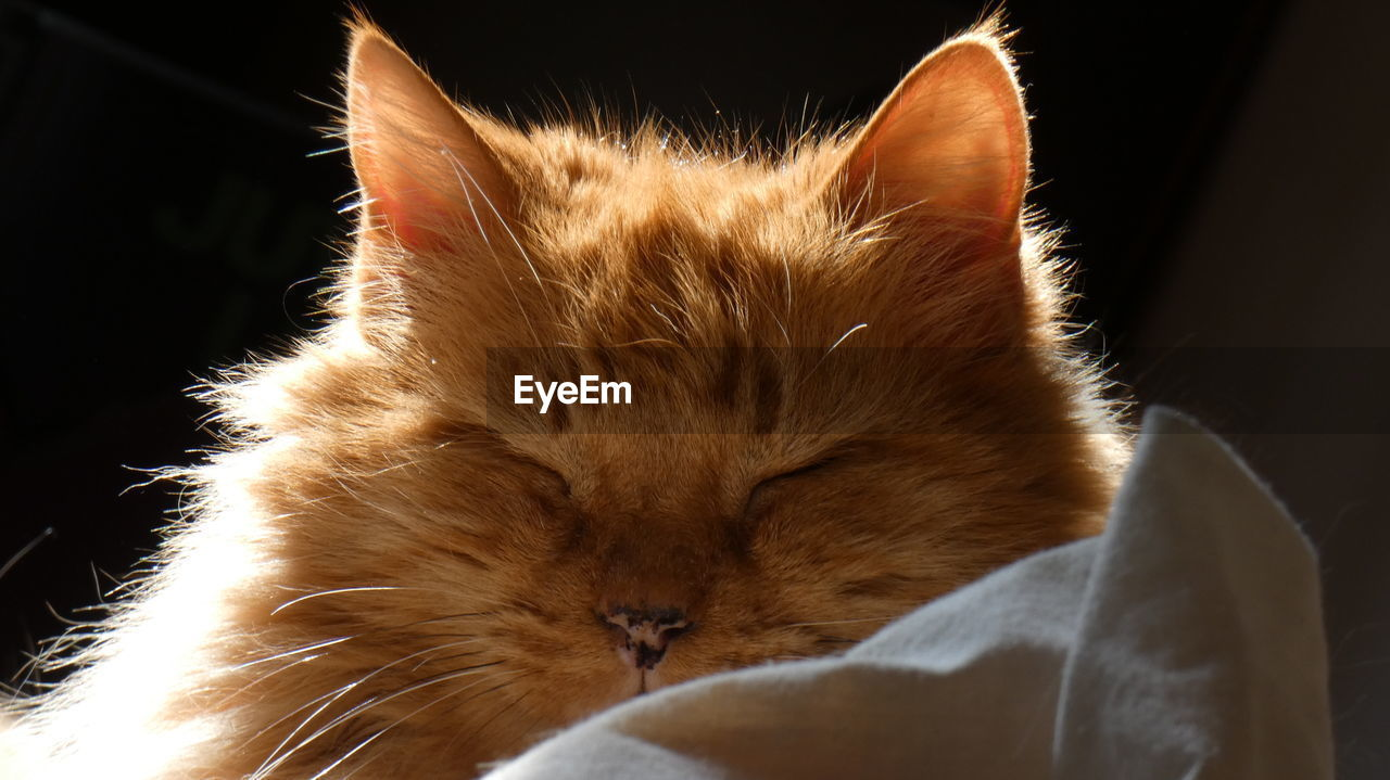 domestic, domestic cat, pets, mammal, cat, domestic animals, animal themes, feline, animal, one animal, vertebrate, indoors, no people, whisker, close-up, relaxation, home interior, furniture, focus on foreground, eyes closed, ginger cat, animal head