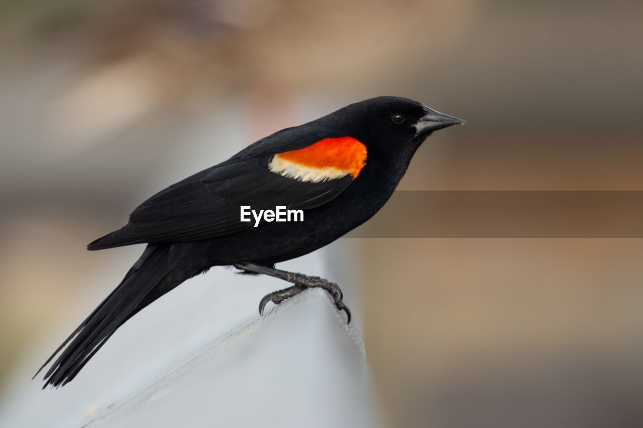 Close-up of a red-winged blackbird