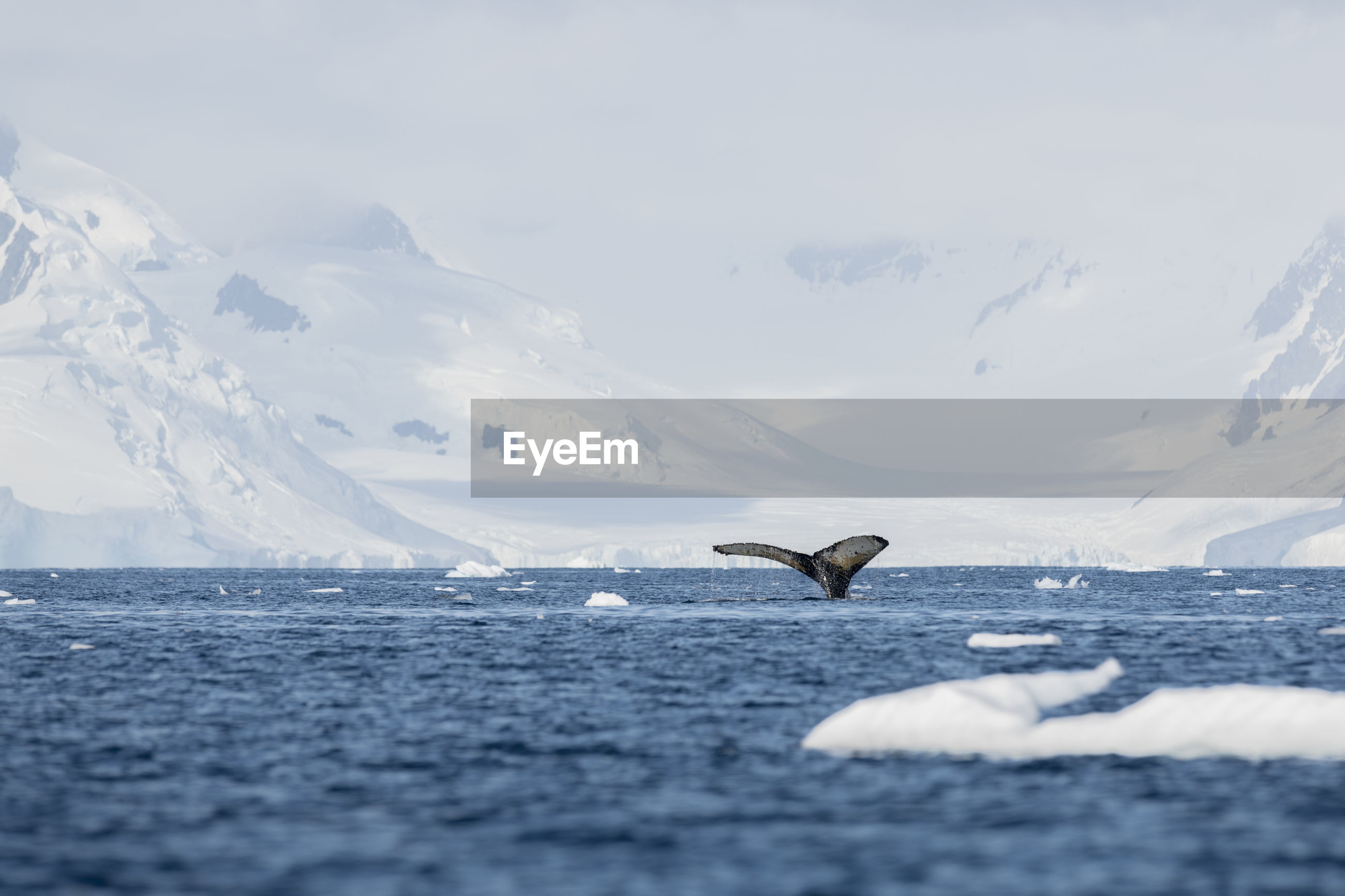 Fluke of a humpback whale with mountains and glaciers at anvers island, antarctica.