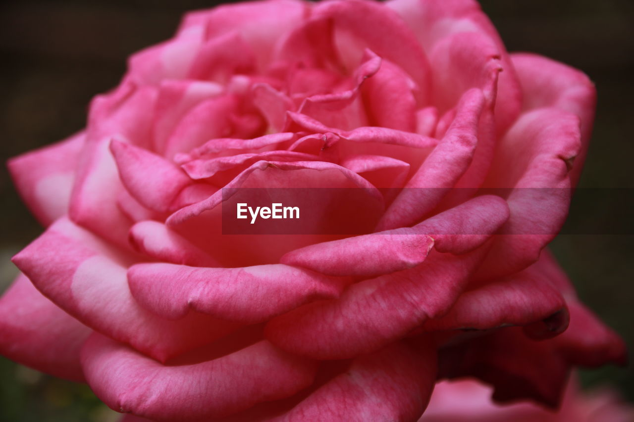 flower, flowering plant, petal, beauty in nature, freshness, plant, vulnerability, fragility, close-up, inflorescence, flower head, pink color, nature, growth, rose, focus on foreground, rose - flower, no people, selective focus, softness
