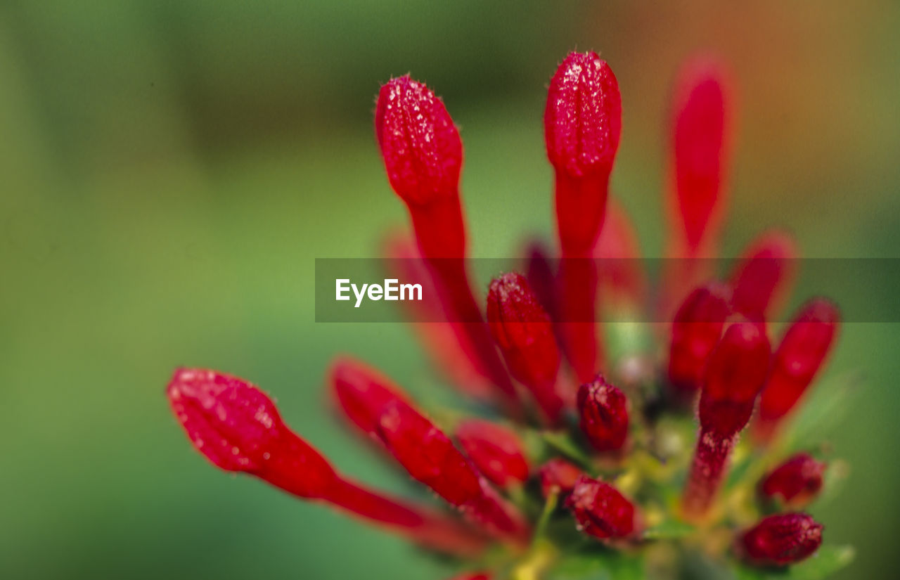 red, close-up, fragility, beauty in nature, vulnerability, growth, freshness, flower, plant, flowering plant, no people, selective focus, petal, day, nature, inflorescence, flower head, outdoors, focus on foreground, pollen