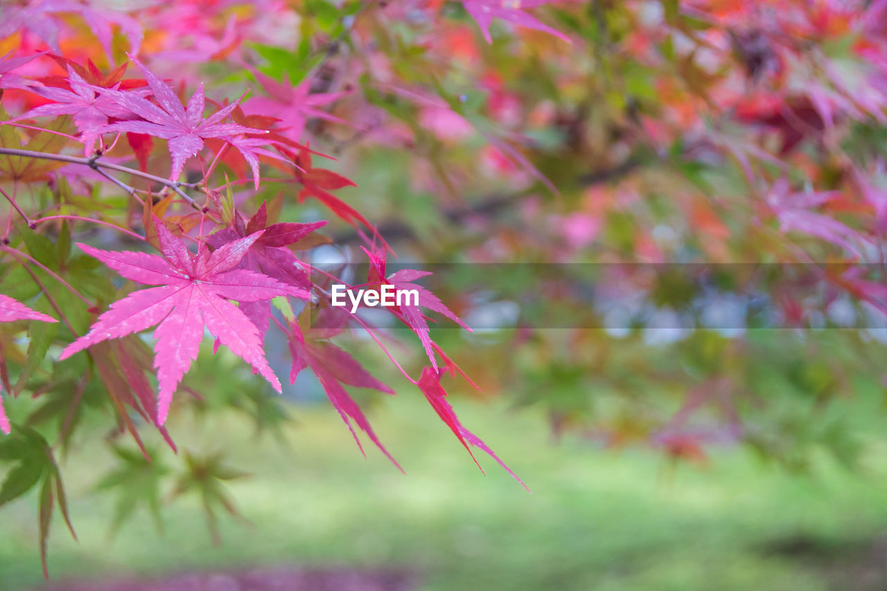 plant, beauty in nature, growth, flower, flowering plant, freshness, fragility, vulnerability, close-up, pink color, day, plant part, nature, leaf, focus on foreground, no people, selective focus, petal, outdoors, autumn, flower head, maple leaf, change, leaves