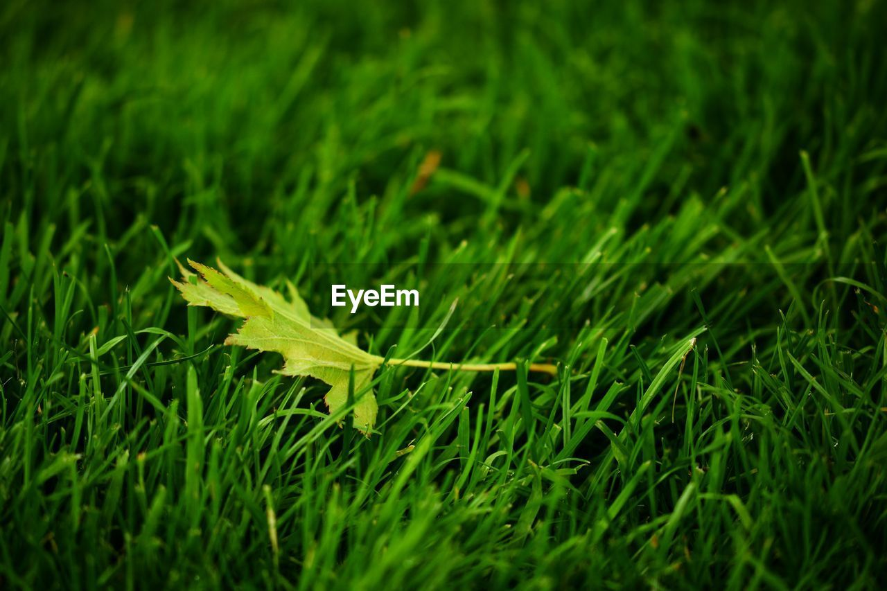 green color, plant, grass, growth, land, nature, selective focus, field, no people, close-up, beauty in nature, plant part, leaf, day, outdoors, fragility, vulnerability, freshness, blade of grass, focus on foreground