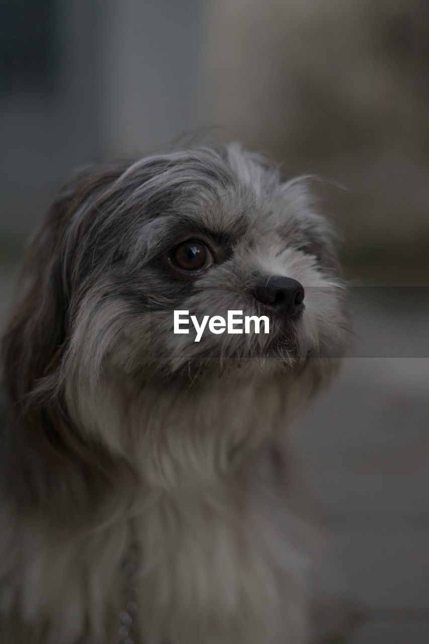 one animal, canine, dog, domestic, animal themes, pets, mammal, animal, domestic animals, vertebrate, animal hair, hair, animal body part, no people, portrait, close-up, lap dog, looking, focus on foreground, indoors, small, animal head, shih tzu, snout