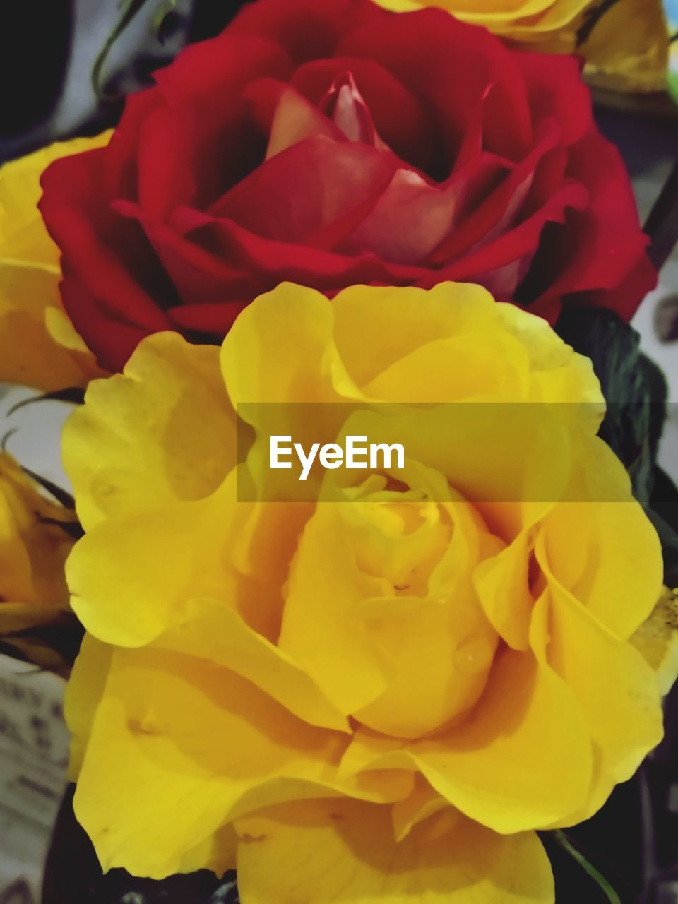 flower, beauty in nature, flowering plant, petal, plant, rose, inflorescence, freshness, flower head, vulnerability, rose - flower, close-up, fragility, yellow, no people, nature, growth, focus on foreground, red, outdoors, bouquet, flower arrangement