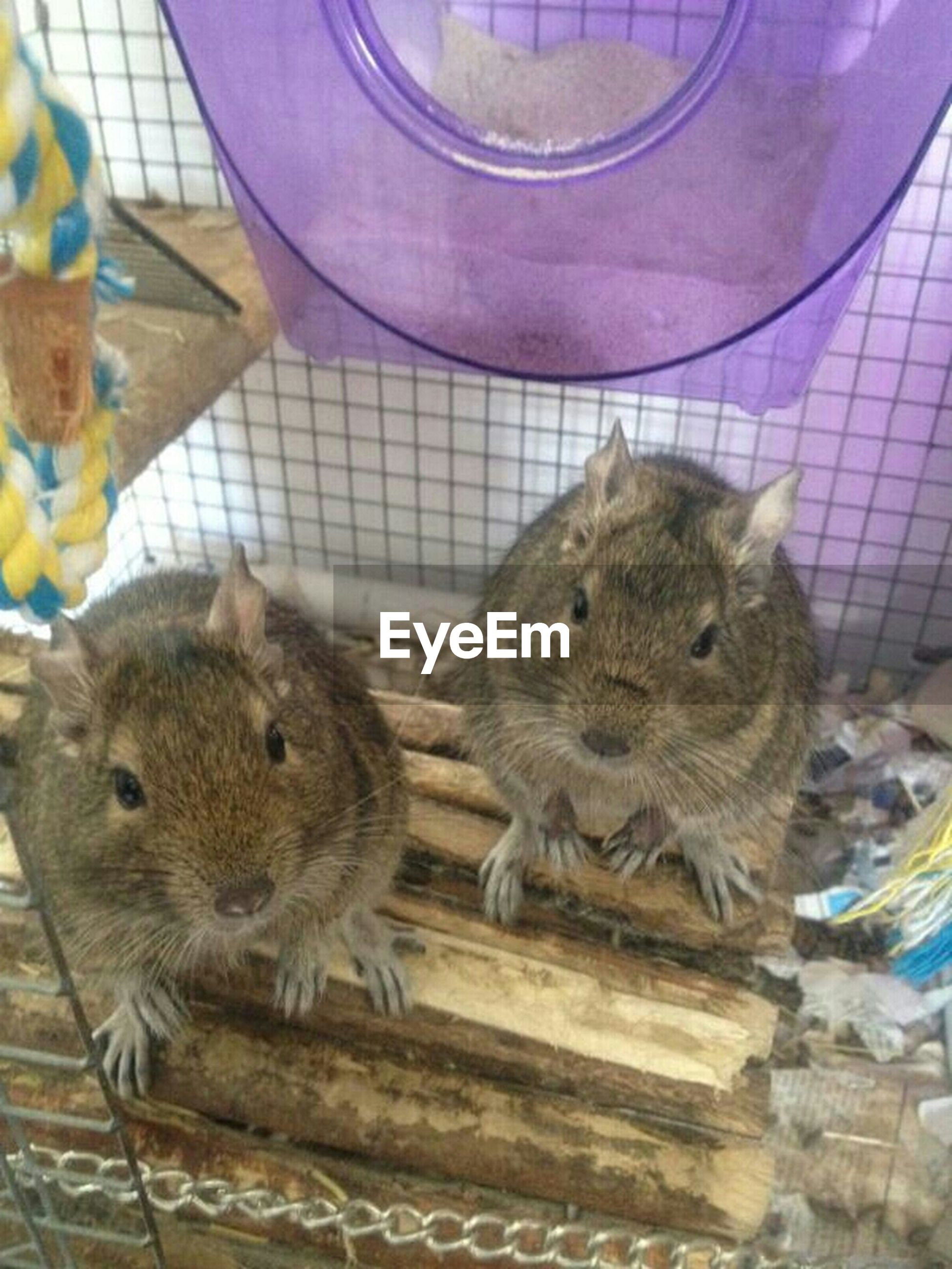animal themes, animals in captivity, one animal, animals in the wild, indoors, wildlife, mammal, cage, domestic animals, zoo, two animals, rodent, close-up, livestock, squirrel, day, no people, bird, chicken - bird, young animal