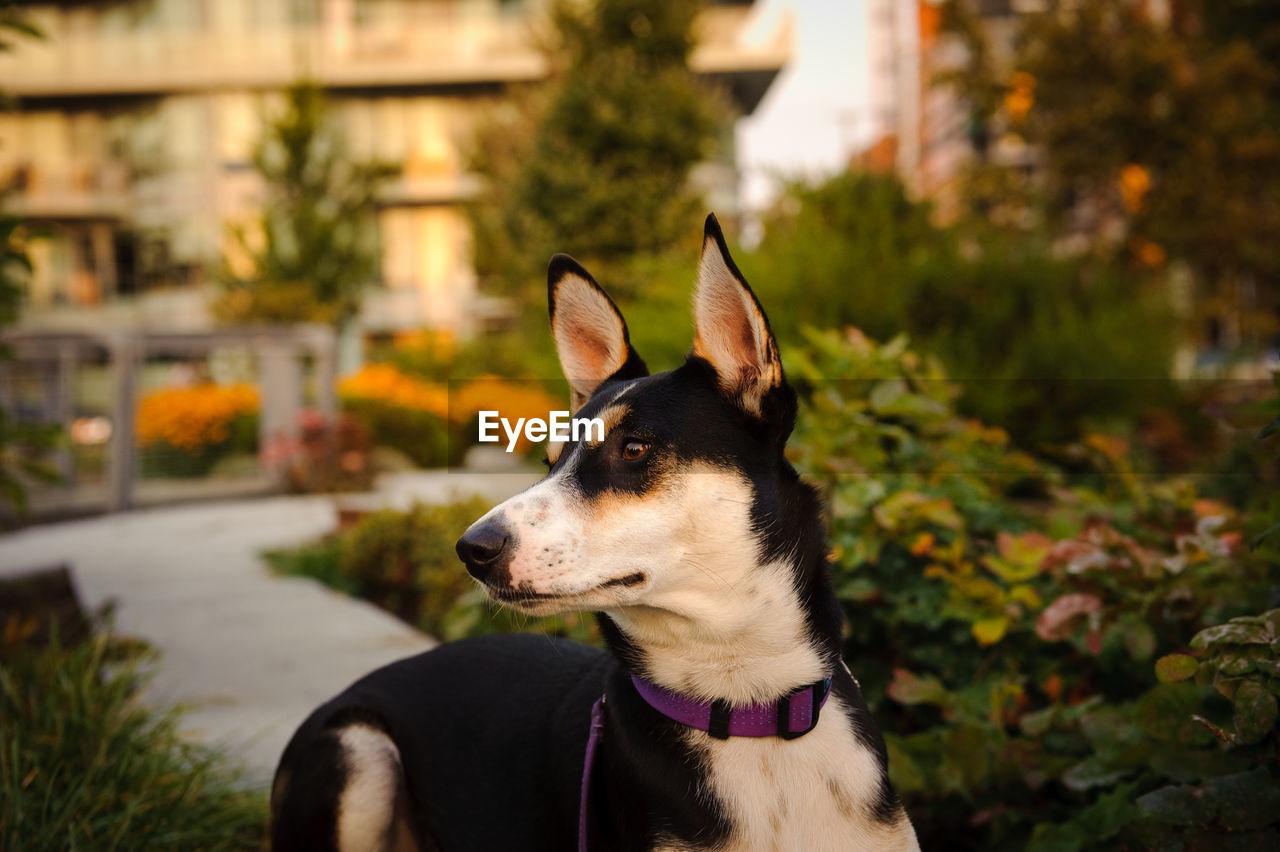 Dog Looking Away In Garden During Sunset
