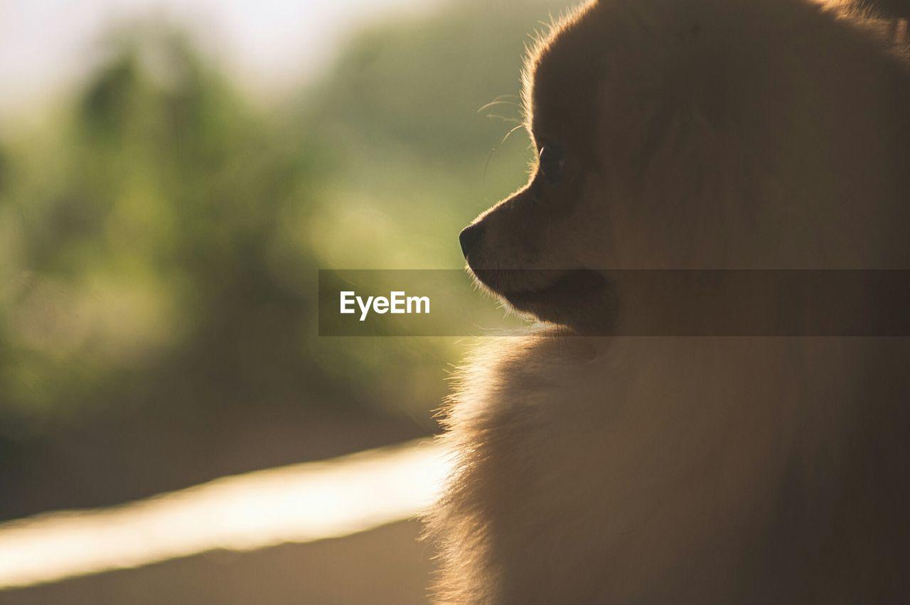 Close-Up Of Pomeranian