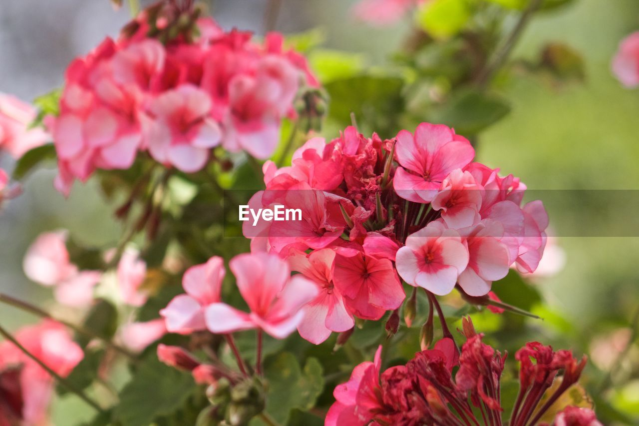 flower, nature, growth, beauty in nature, petal, pink color, fragility, plant, freshness, flower head, no people, outdoors, blooming, day, close-up