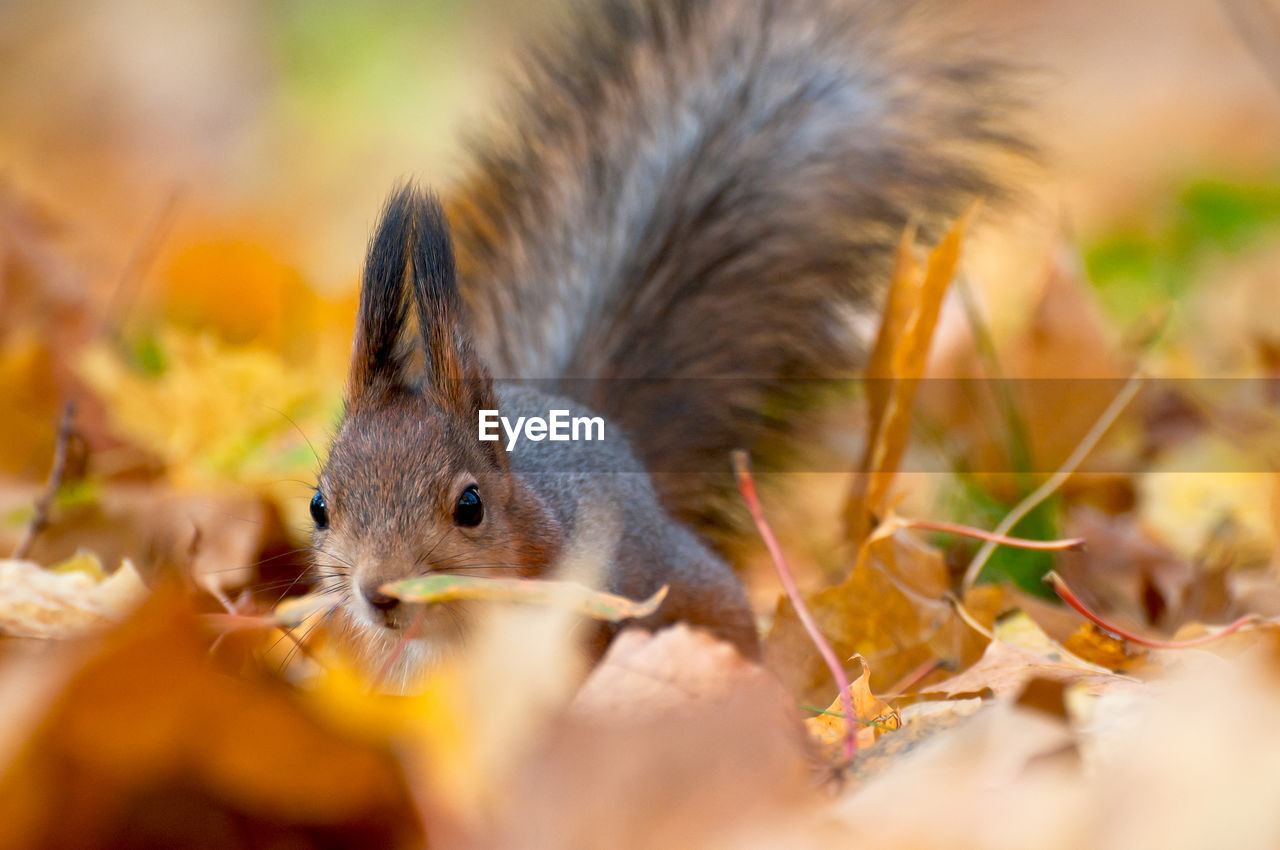 animal themes, animal, animal wildlife, one animal, rodent, selective focus, close-up, animals in the wild, vertebrate, leaf, plant part, eating, mammal, no people, squirrel, food, nature, day, land, food and drink, whisker, animal head, leaves