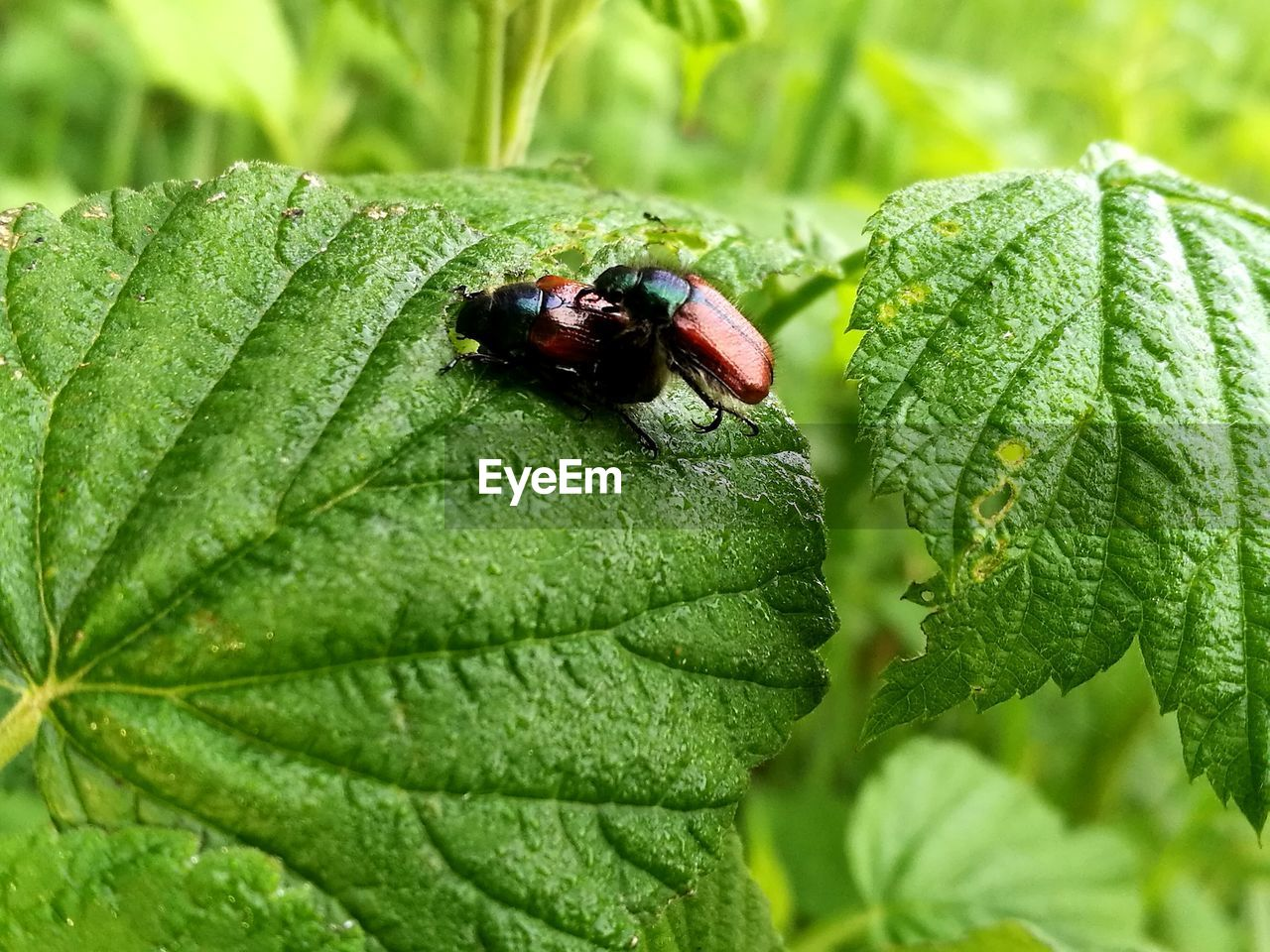 leaf, green color, insect, animal themes, animals in the wild, one animal, close-up, day, nature, no people, plant, ladybug, outdoors, growth
