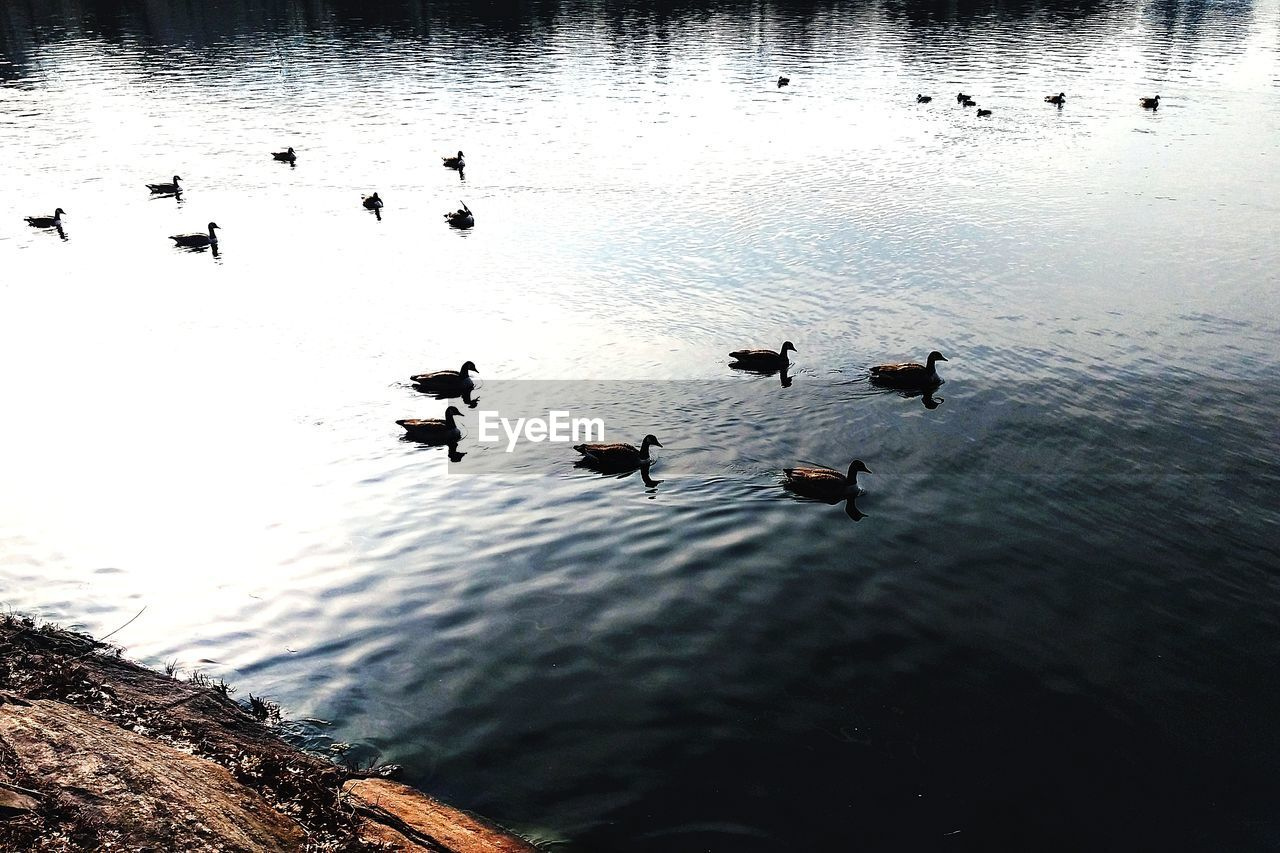 water, bird, animal wildlife, group of animals, animal themes, animals in the wild, animal, lake, vertebrate, large group of animals, swimming, poultry, duck, high angle view, no people, nature, reflection, waterfront, day, outdoors, flock of birds, floating on water