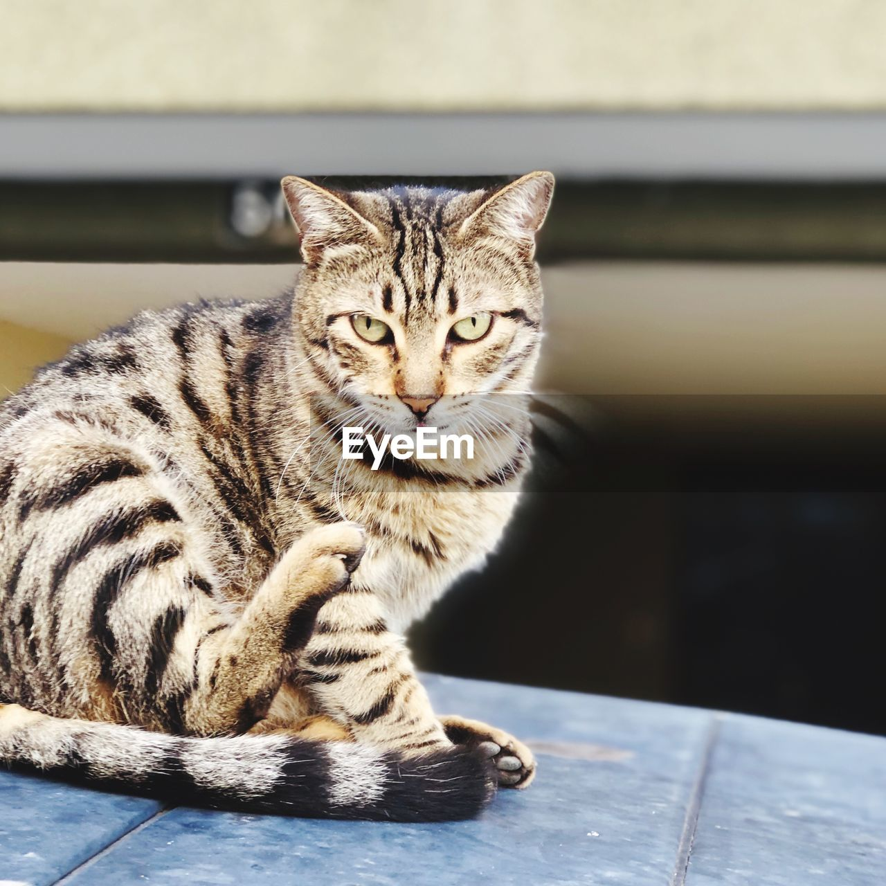 cat, feline, mammal, pets, domestic animals, domestic, one animal, looking at camera, domestic cat, portrait, relaxation, vertebrate, sitting, no people, focus on foreground, whisker, close-up, flooring, tabby