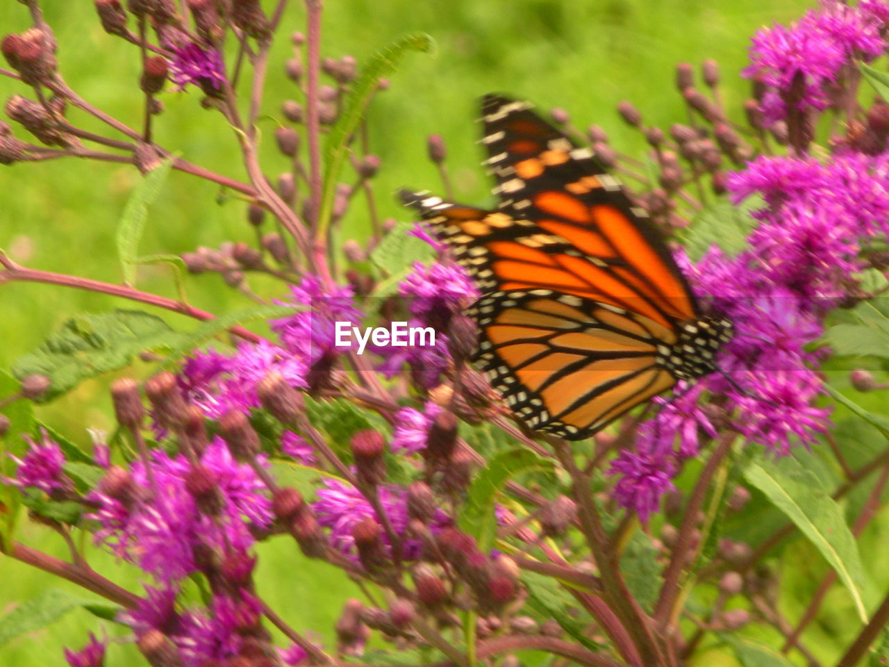 flower, flowering plant, animal, plant, beauty in nature, animal themes, animal wildlife, invertebrate, insect, one animal, fragility, vulnerability, freshness, growth, animals in the wild, animal wing, butterfly - insect, petal, close-up, flower head, pollination, no people, pink color, purple, outdoors, butterfly