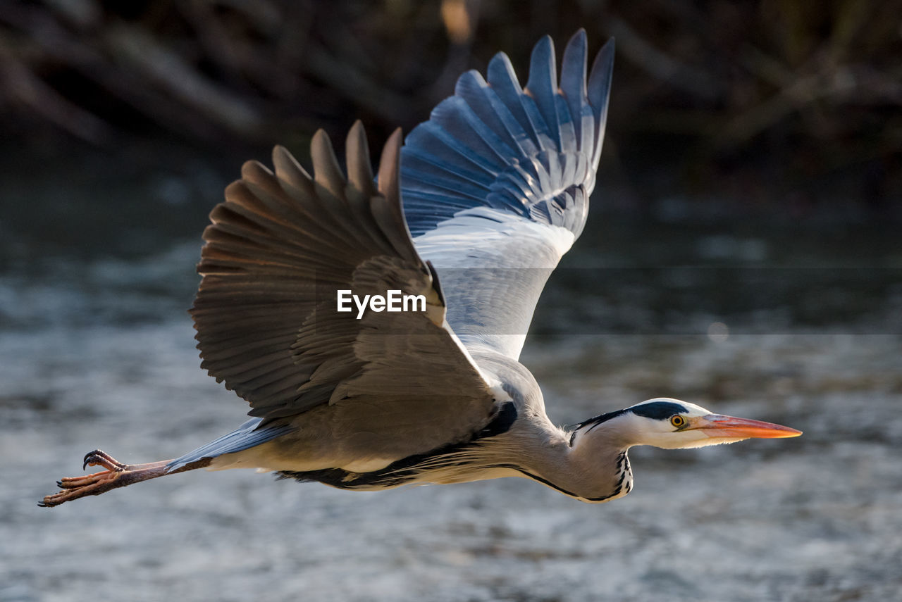 animals in the wild, bird, animal wildlife, animal, animal themes, vertebrate, spread wings, flying, one animal, focus on foreground, day, nature, no people, motion, water, mid-air, beauty in nature, animal wing, water bird, outdoors, flapping