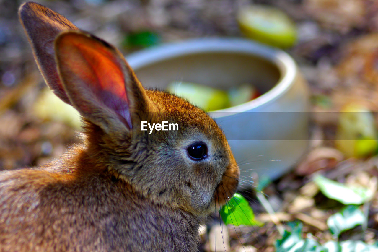 animal themes, mammal, animal, close-up, focus on foreground, one animal, animal wildlife, vertebrate, no people, animals in the wild, day, rodent, rabbit - animal, pets, land, selective focus, nature, domestic, domestic animals, field, herbivorous, whisker
