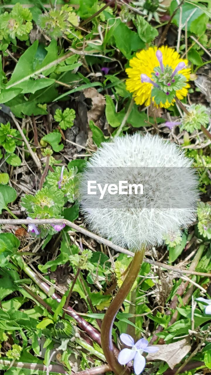 flower, fragility, growth, nature, flower head, freshness, dandelion, beauty in nature, plant, uncultivated, wildflower, outdoors, day, petal, field, close-up, no people, blooming