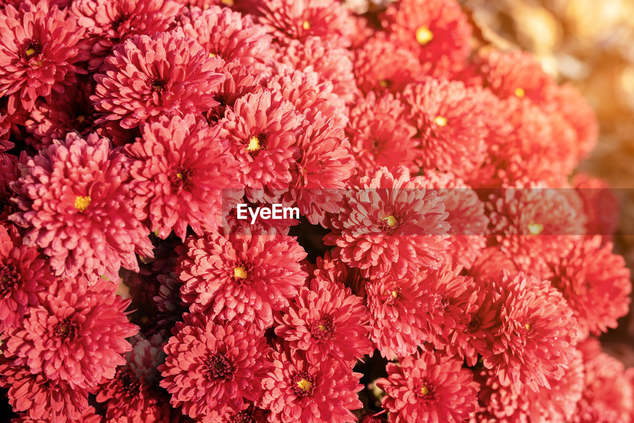 flowering plant, flower, full frame, freshness, petal, fragility, close-up, vulnerability, inflorescence, backgrounds, flower head, beauty in nature, plant, growth, pink color, no people, nature, day, red, selective focus, outdoors