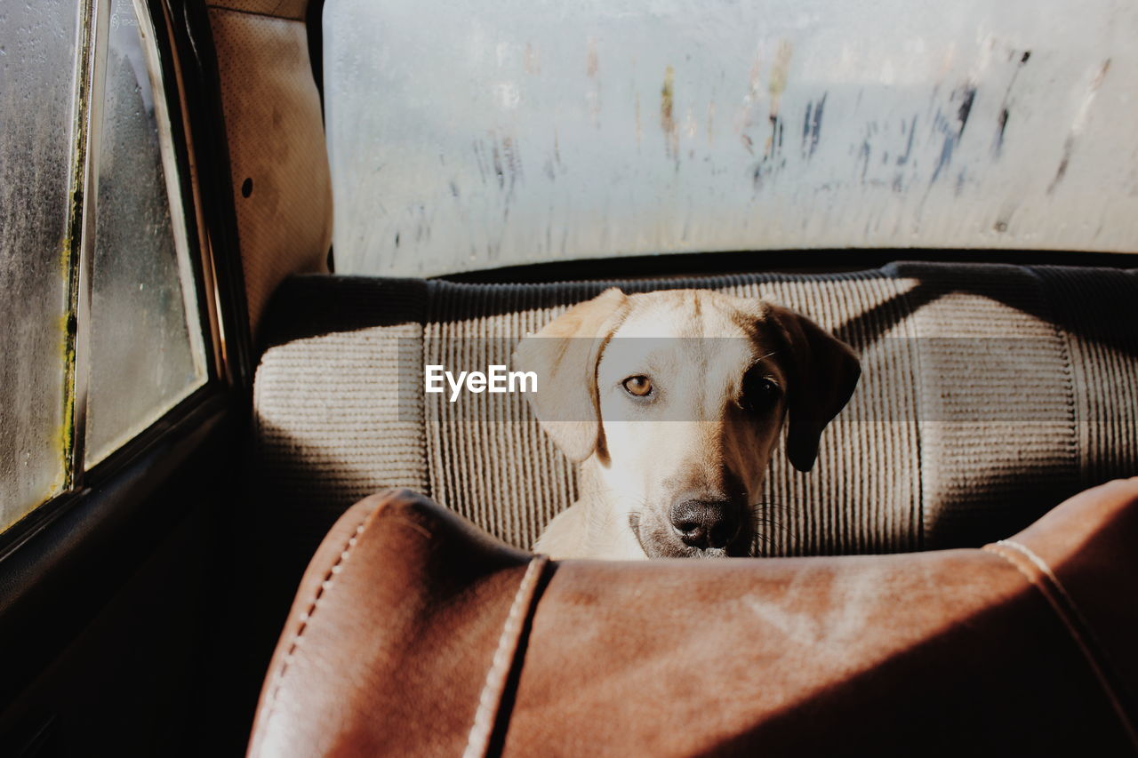one animal, domestic, pets, domestic animals, dog, canine, mammal, animal themes, animal, vertebrate, portrait, looking at camera, mode of transportation, land vehicle, motor vehicle, transportation, indoors, day, car, no people, animal head