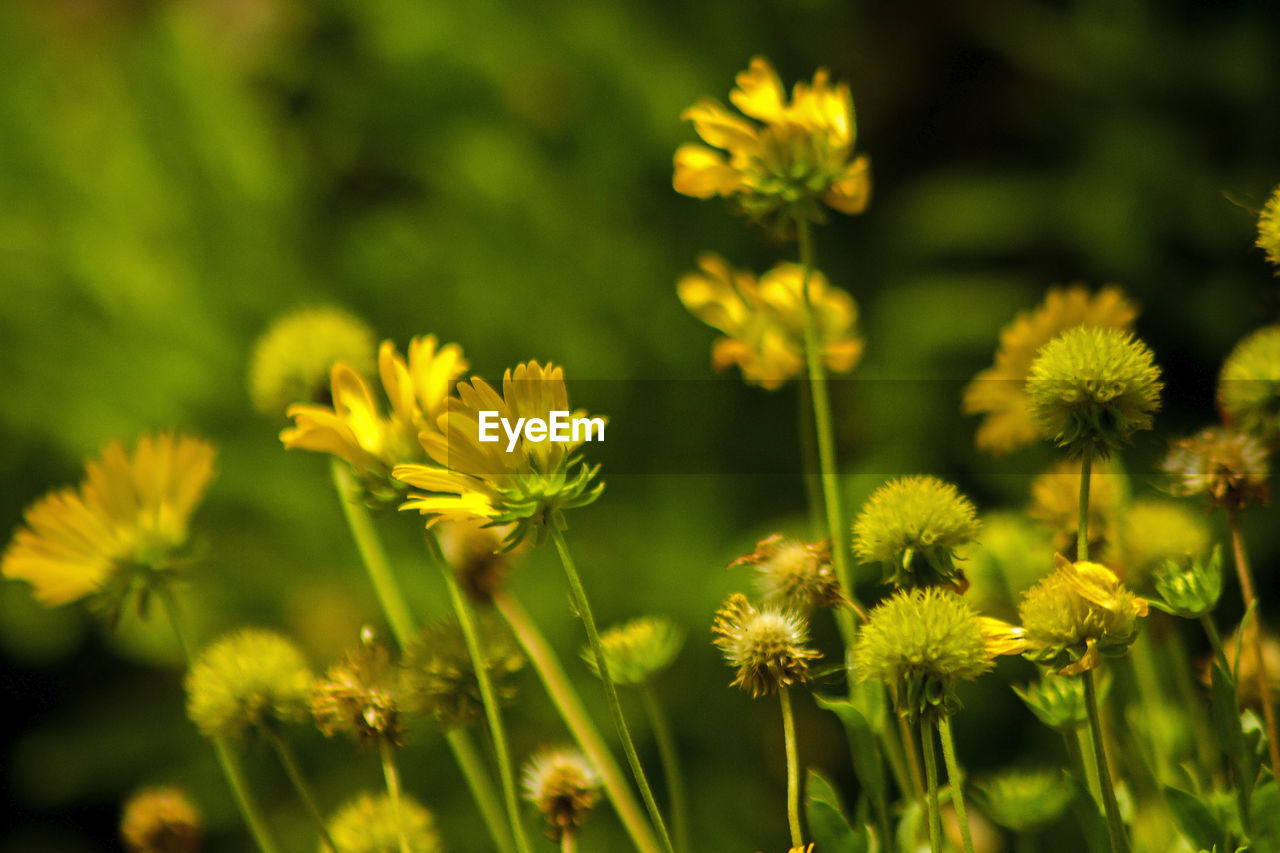 flower, flowering plant, fragility, plant, freshness, vulnerability, beauty in nature, growth, yellow, petal, flower head, close-up, inflorescence, nature, no people, focus on foreground, field, day, selective focus, green color, outdoors