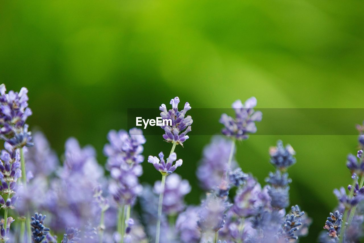 flower, flowering plant, vulnerability, fragility, freshness, beauty in nature, plant, growth, petal, close-up, nature, no people, day, flower head, inflorescence, selective focus, focus on foreground, purple, outdoors, field, lavender