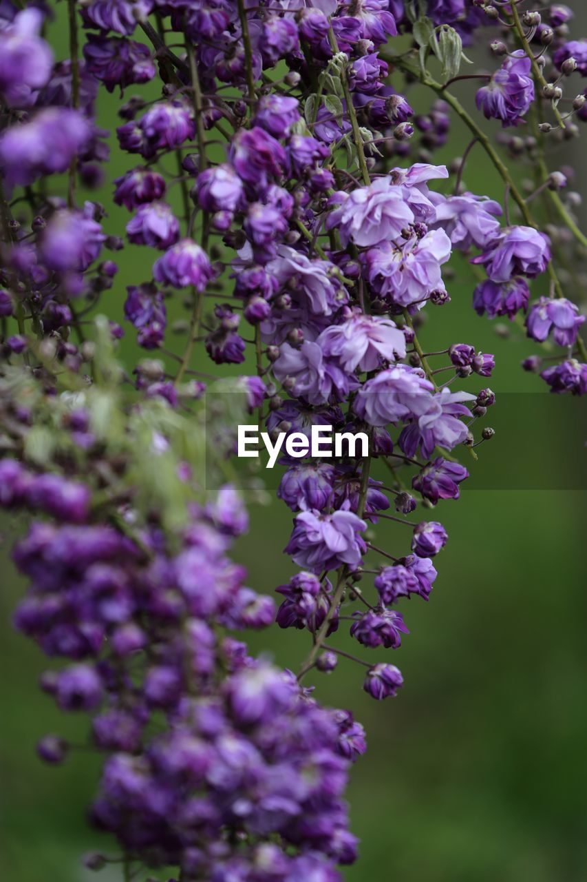 flower, flowering plant, purple, fragility, vulnerability, plant, beauty in nature, growth, freshness, close-up, lavender, botany, petal, nature, day, no people, selective focus, wisteria, lavender colored, outdoors, lilac, springtime, flower head