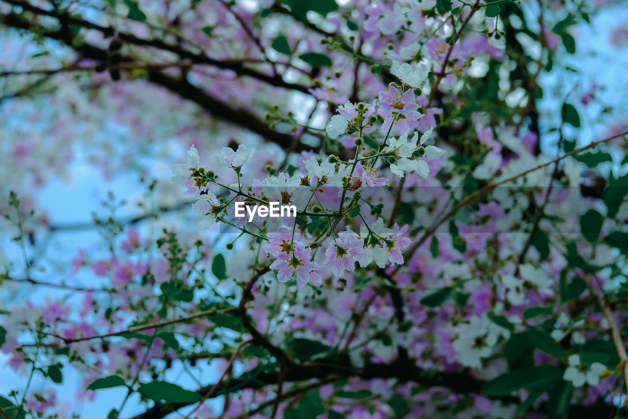 LOW ANGLE VIEW OF CHERRY BLOSSOMS ON BRANCH