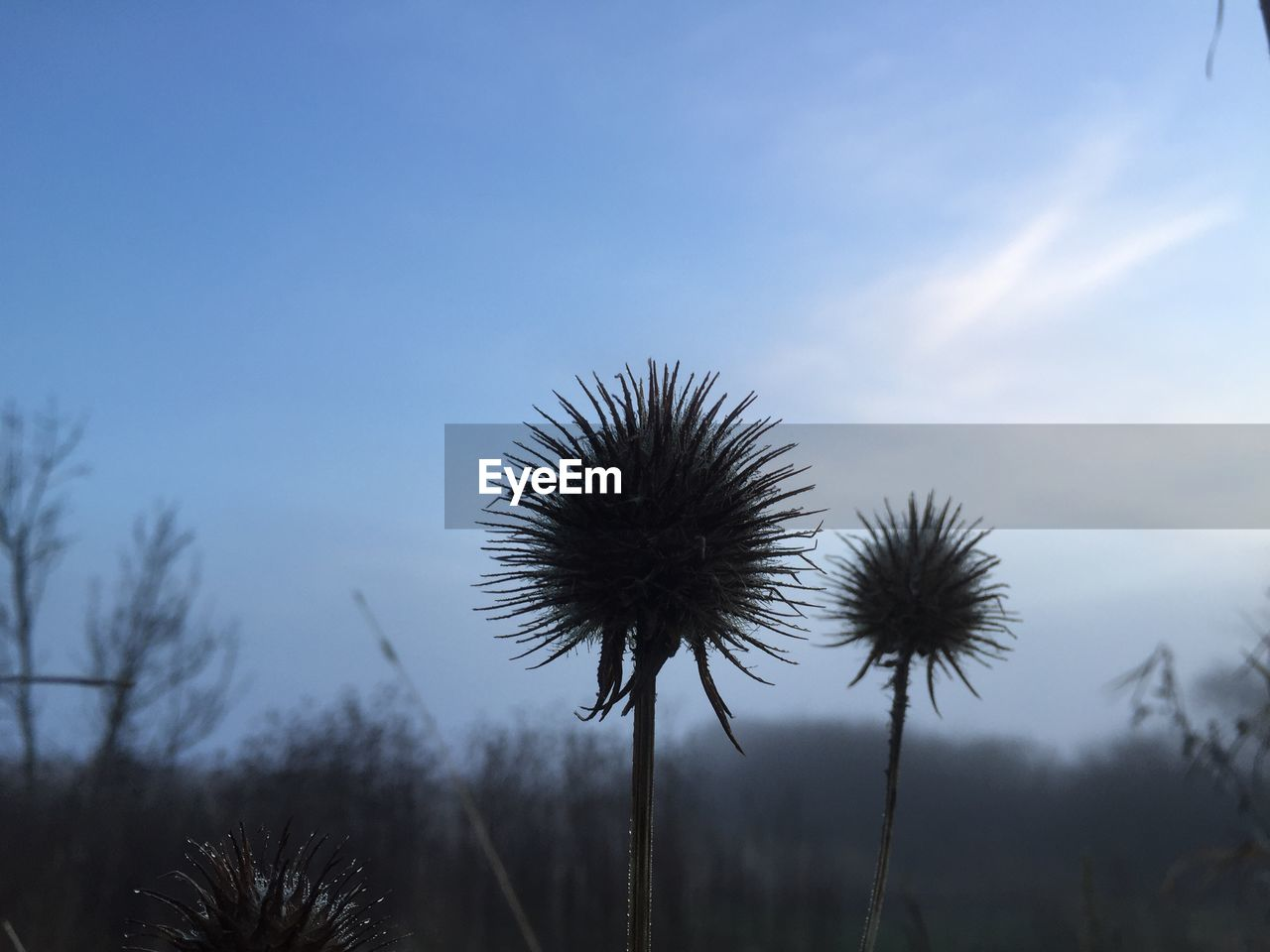 plant, sky, growth, nature, beauty in nature, no people, tranquility, tree, flower, day, cloud - sky, outdoors, flowering plant, focus on foreground, low angle view, freshness, close-up, fragility, vulnerability, blue, spiky, dandelion seed