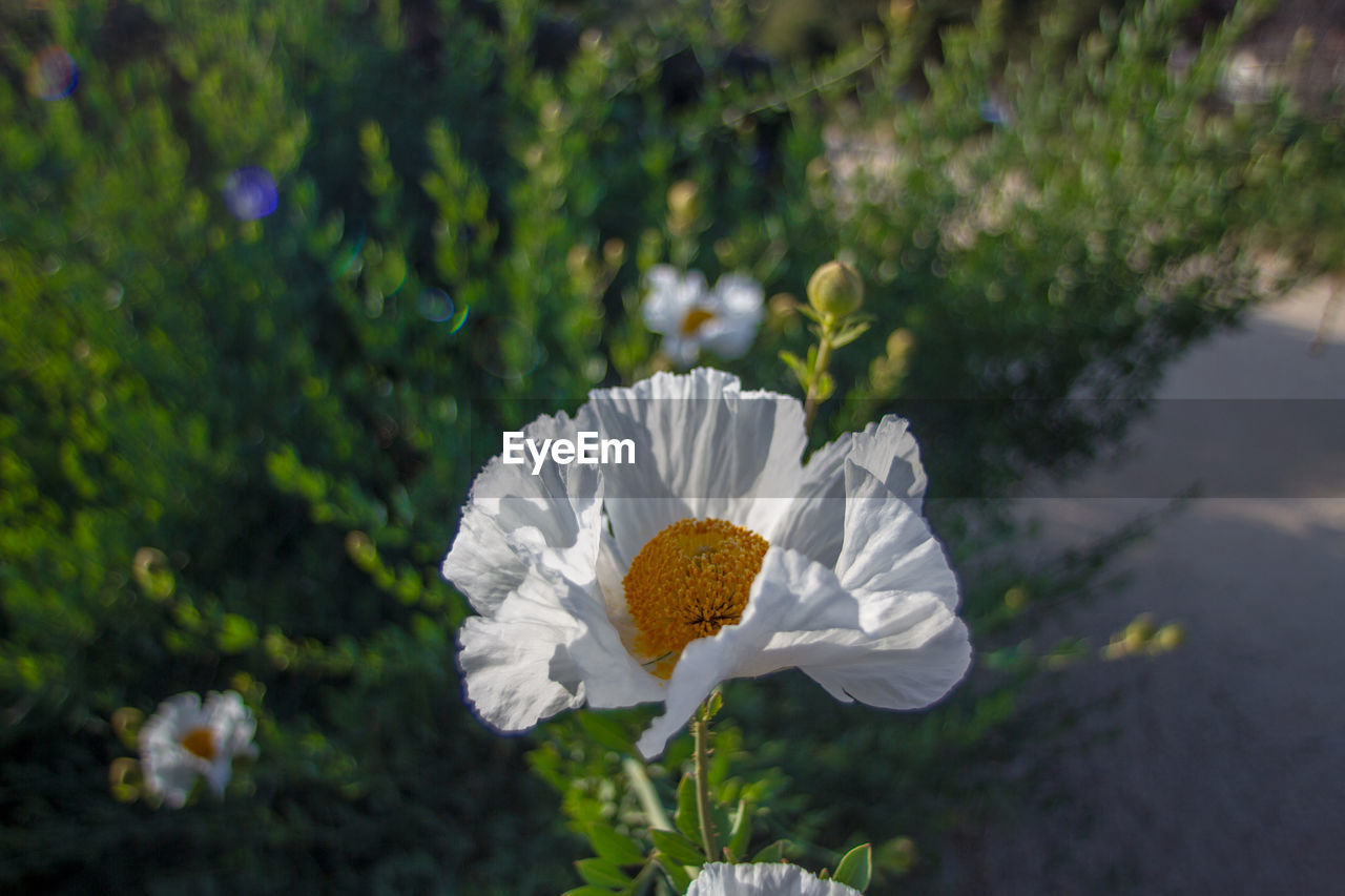 flowering plant, flower, fragility, plant, vulnerability, freshness, beauty in nature, growth, inflorescence, flower head, petal, close-up, nature, day, white color, focus on foreground, botany, pollen, outdoors