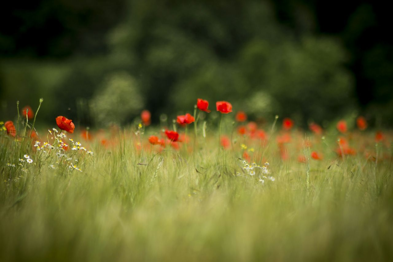 red, growth, poppy, nature, plant, flower, field, selective focus, grass, meadow, summer, flora, vegetation, beauty in nature, spring, no people, outdoors, freshness, fragility, day, close-up
