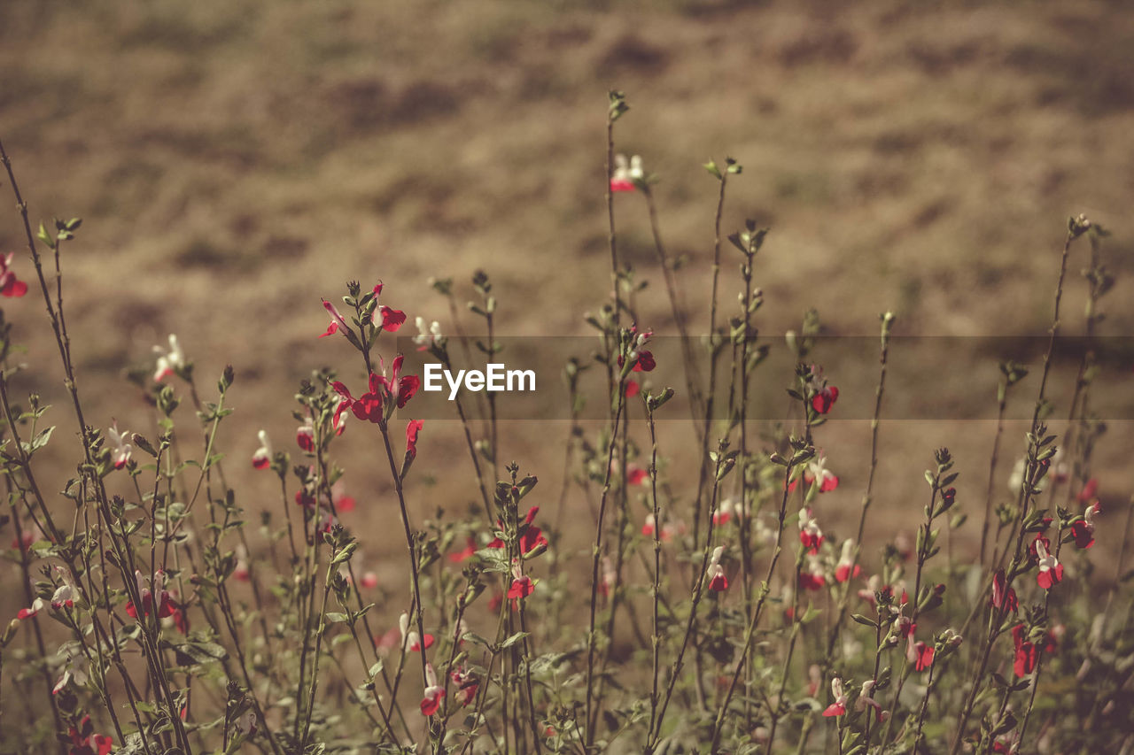 plant, growth, flower, field, flowering plant, land, beauty in nature, tranquility, nature, focus on foreground, no people, fragility, selective focus, vulnerability, day, freshness, close-up, tranquil scene, outdoors, red