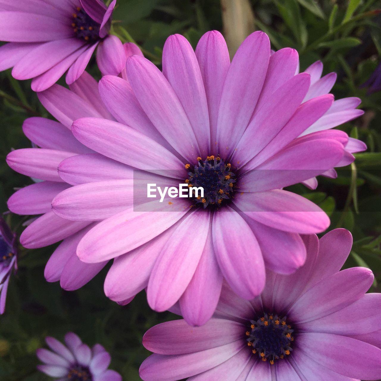 Macro Shot Of Pink Daisy Flower