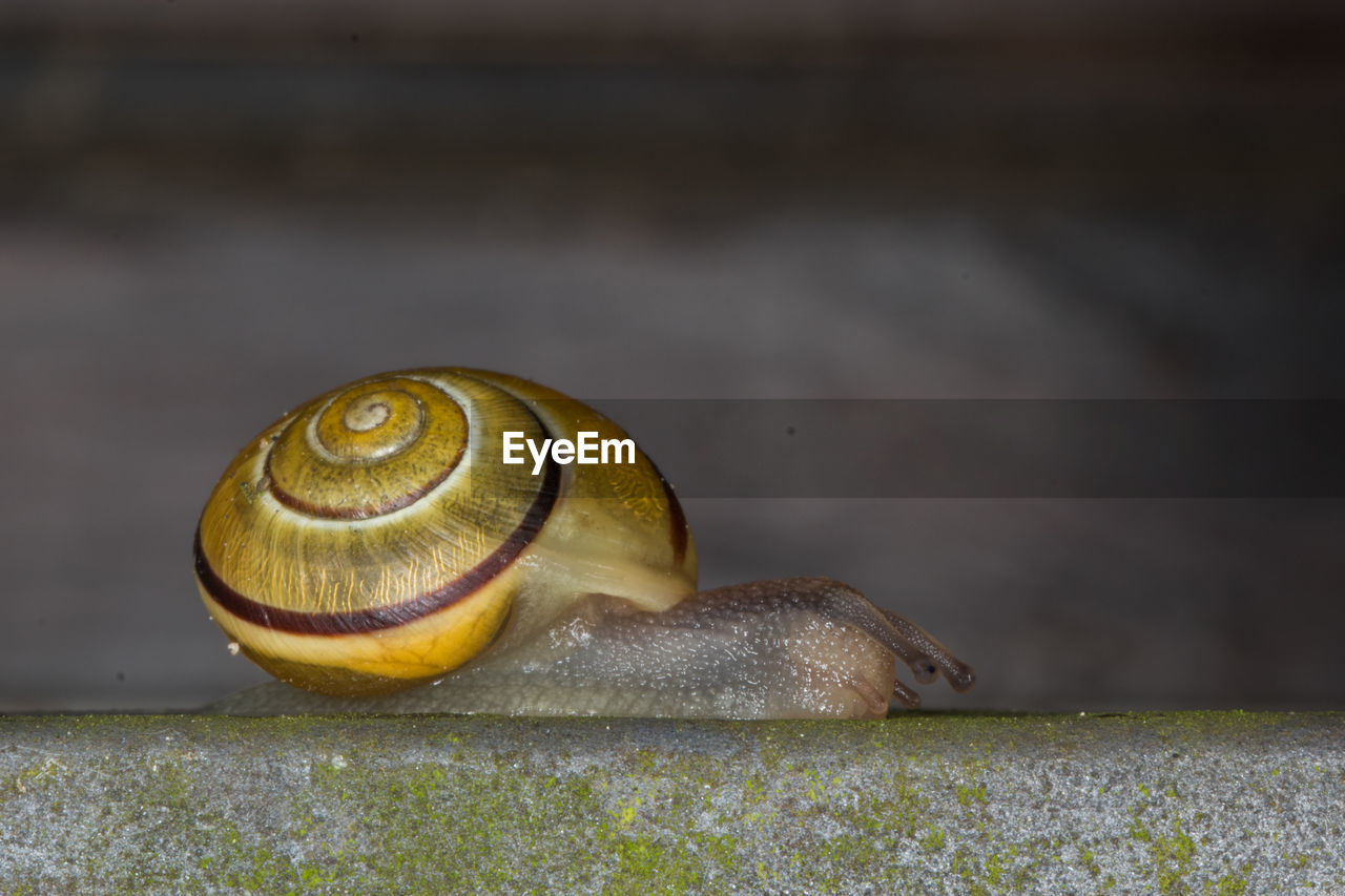 shell, animal wildlife, animal, mollusk, animal shell, invertebrate, snail, gastropod, animal themes, close-up, animals in the wild, no people, one animal, spiral, focus on foreground, day, nature, animal antenna, outdoors, natural pattern