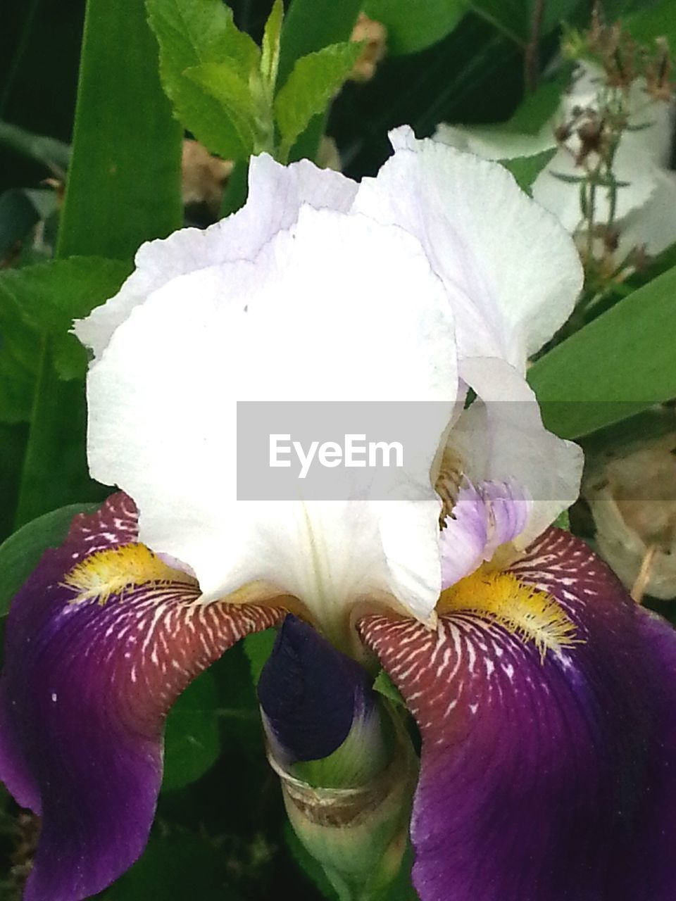 flowering plant, beauty in nature, flower, plant, petal, close-up, vulnerability, fragility, growth, freshness, inflorescence, flower head, white color, focus on foreground, day, purple, no people, nature, outdoors, iris - plant