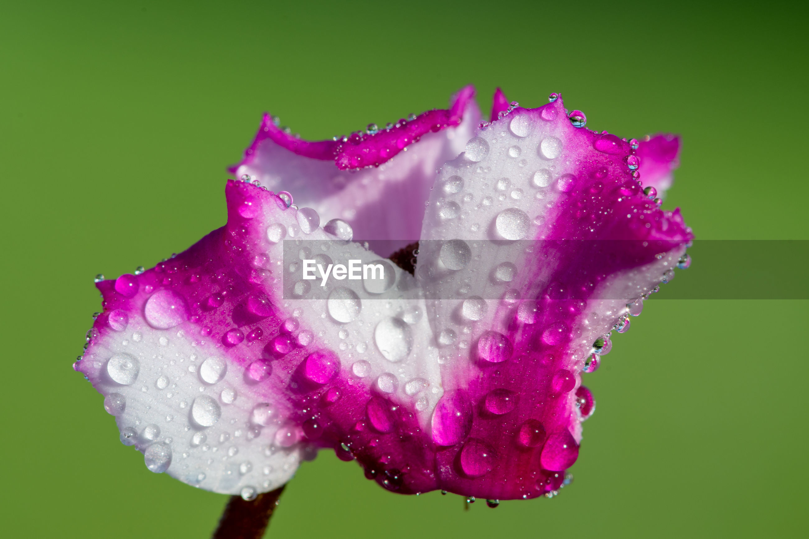 Macro shot of a cyclamen origami flower covered in water droplets.