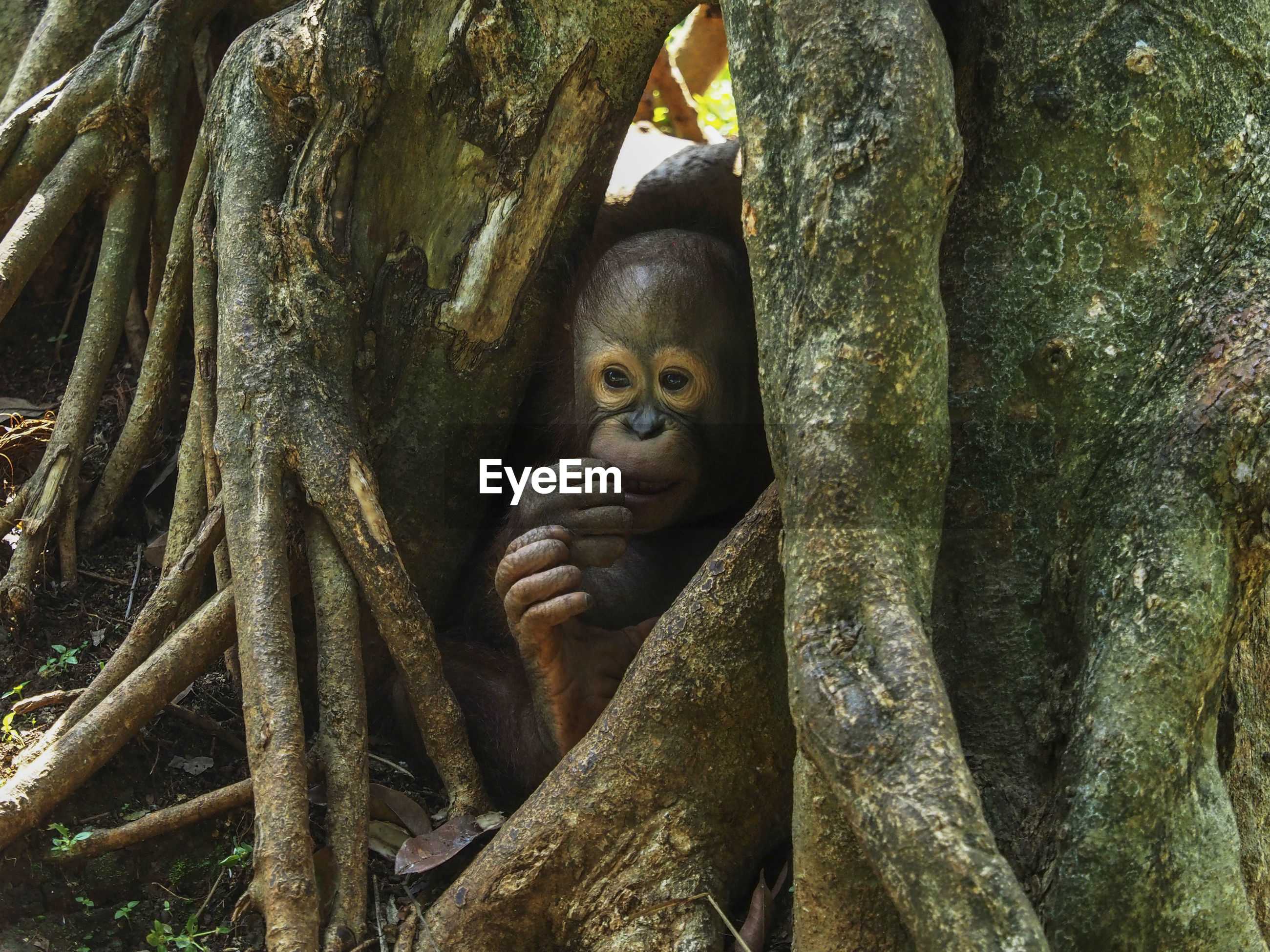 Orangutan by tree trunk in zoo
