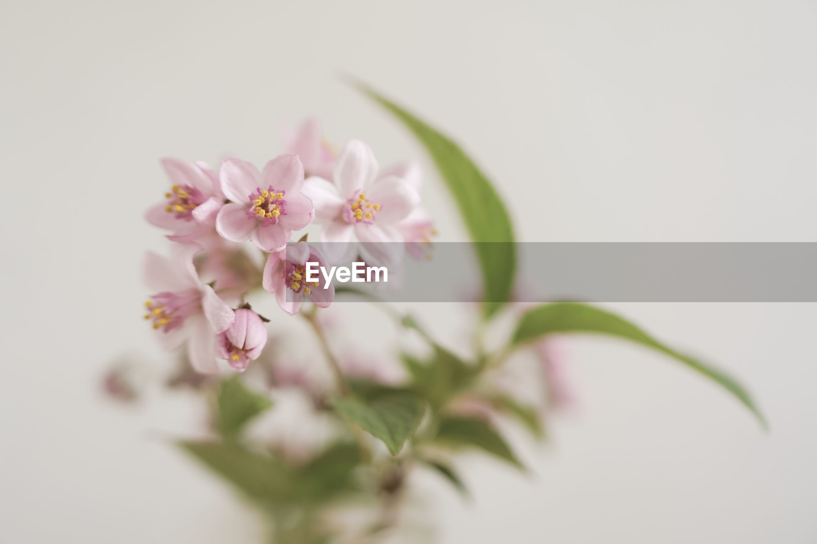 CLOSE-UP OF PINK CHERRY BLOSSOMS AGAINST WHITE BACKGROUND