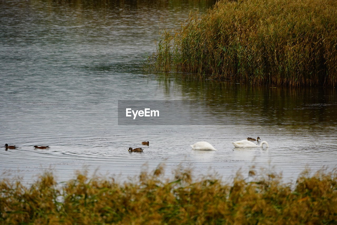 animal, animal themes, animals in the wild, water, animal wildlife, bird, lake, group of animals, vertebrate, swimming, nature, plant, day, young animal, no people, water bird, animal family, swan, young bird, duck, outdoors, floating on water, cygnet