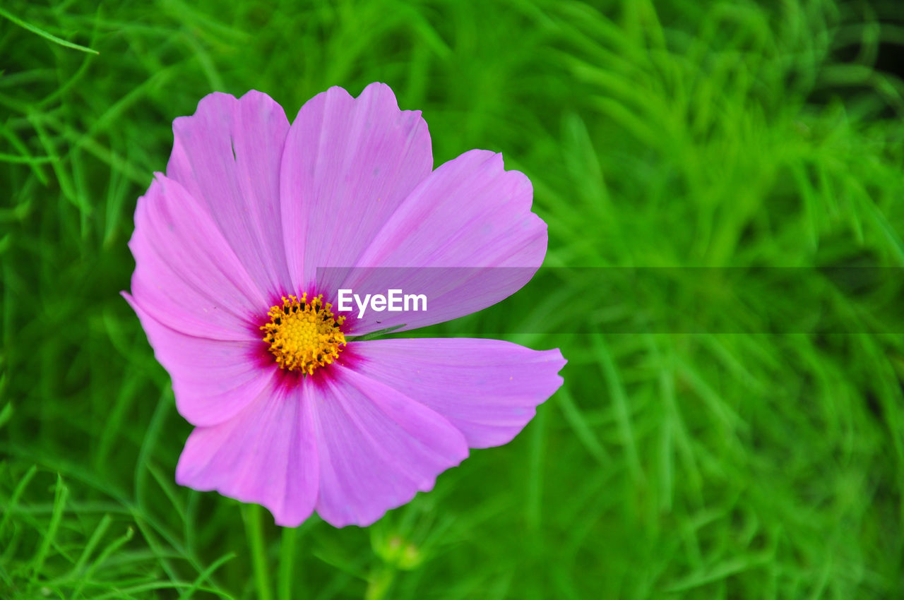 flowering plant, flower, freshness, plant, vulnerability, fragility, petal, growth, flower head, inflorescence, beauty in nature, close-up, green color, nature, cosmos flower, pink color, focus on foreground, no people, day, pollen, purple