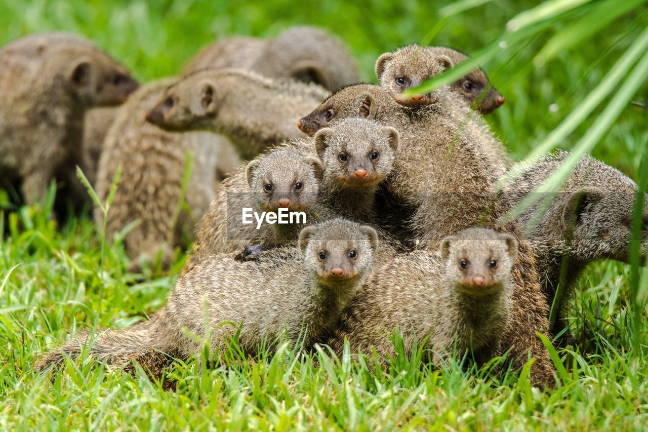Close-Up Of Banded Mongooses On Grassy Field