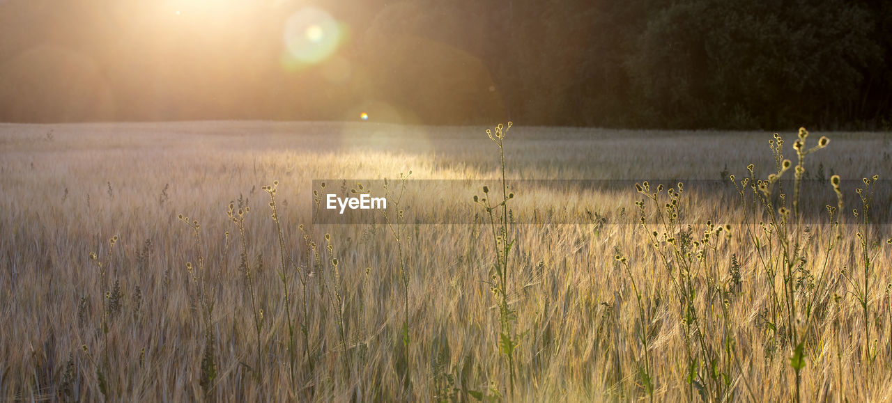plant, beauty in nature, tranquility, tranquil scene, land, growth, field, nature, no people, grass, sun, landscape, sky, sunlight, environment, scenics - nature, sunset, lens flare, agriculture, rural scene, outdoors, bright, stalk